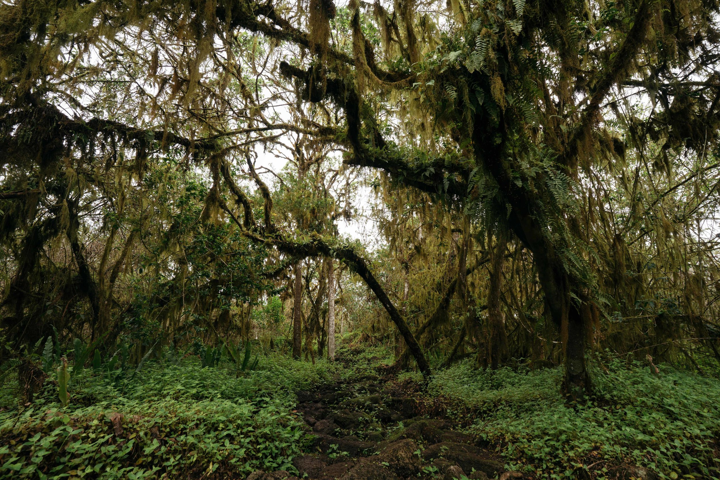 Inside the short loop through an enchanted forest of Guayabillo trees - Los Gemelos