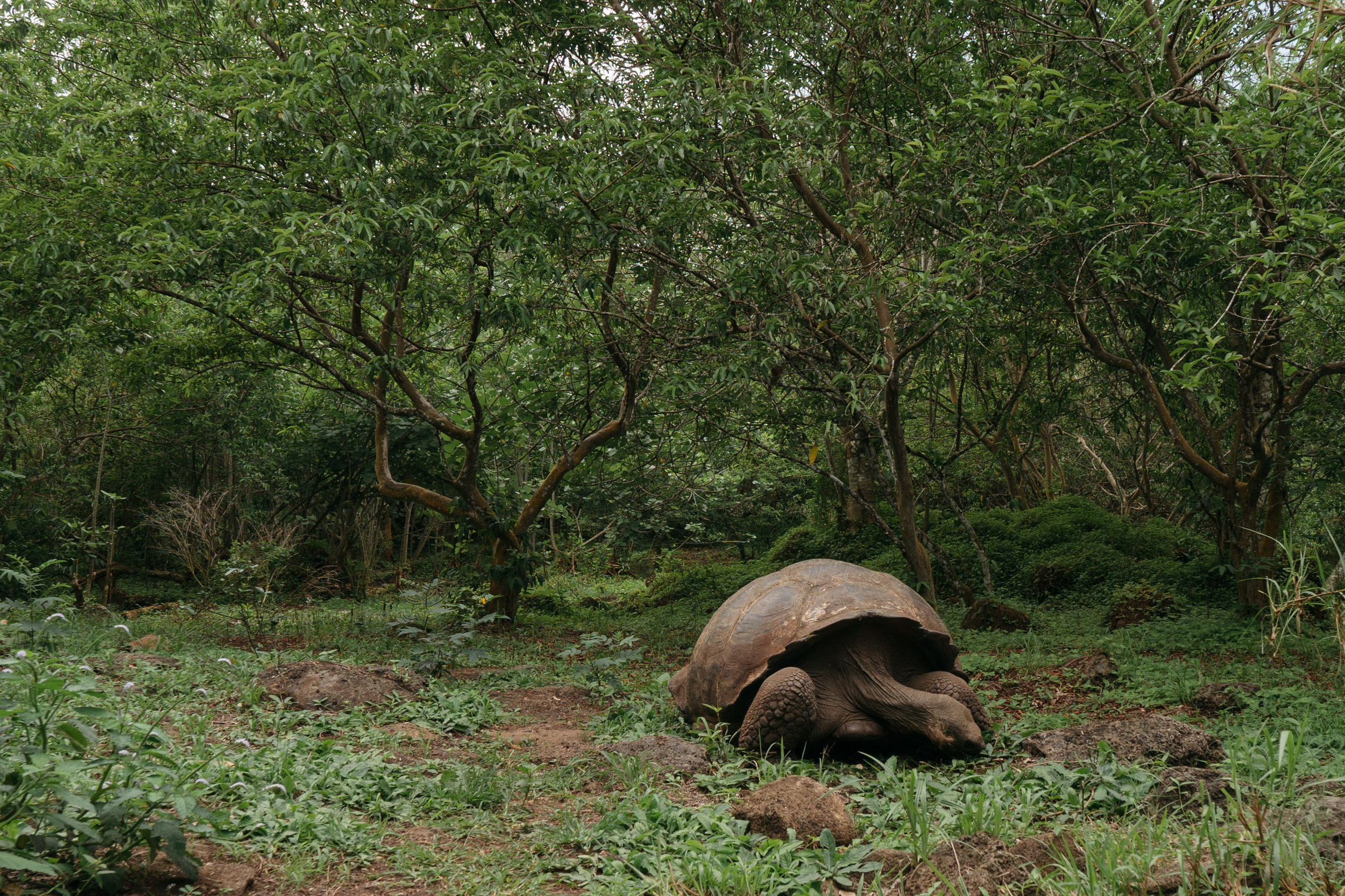 Giant Santa Cruz Tortoise - El Chato