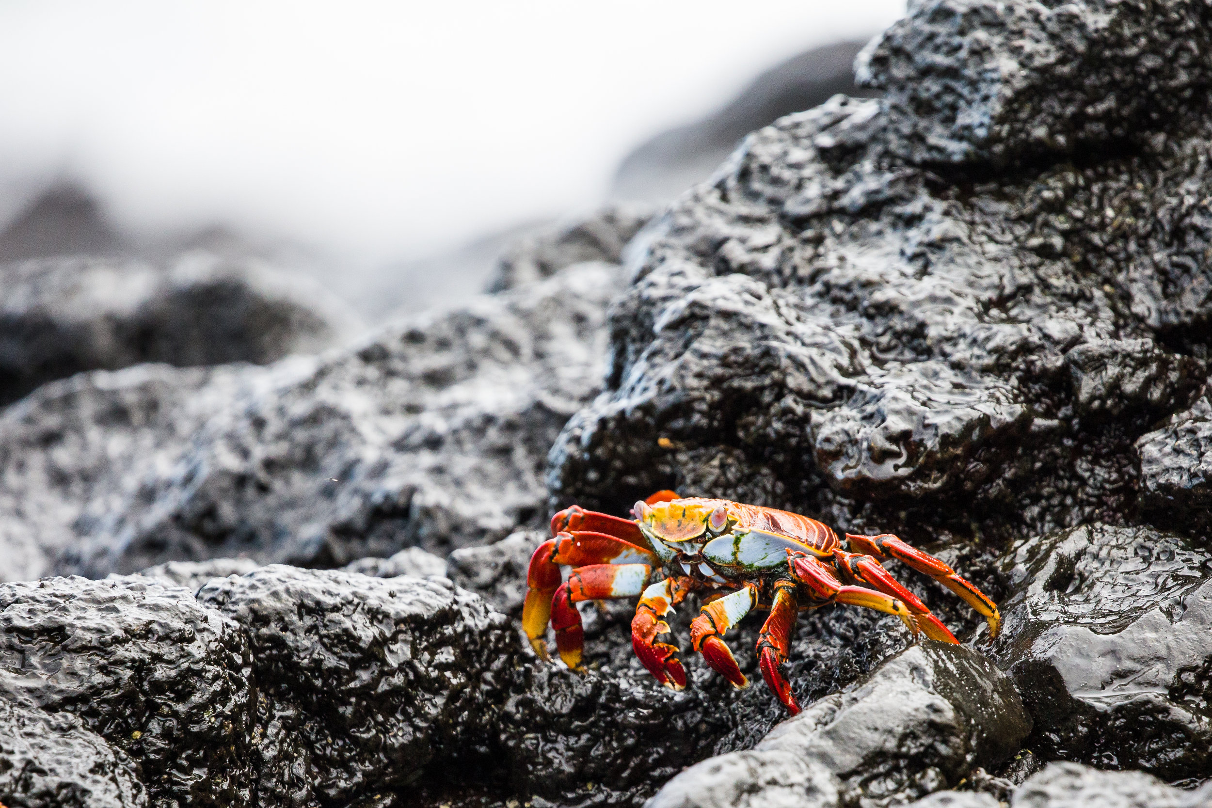 Sally Lightfoot crab (Grapsus grapsus) - These colorful crabs are common along the Pacific coasts of the Americas, and are incredibly quick and agile, running and jumping from rock to rock to escape predators or those of us with cameras. As John Steinbeck quoted when studying them: