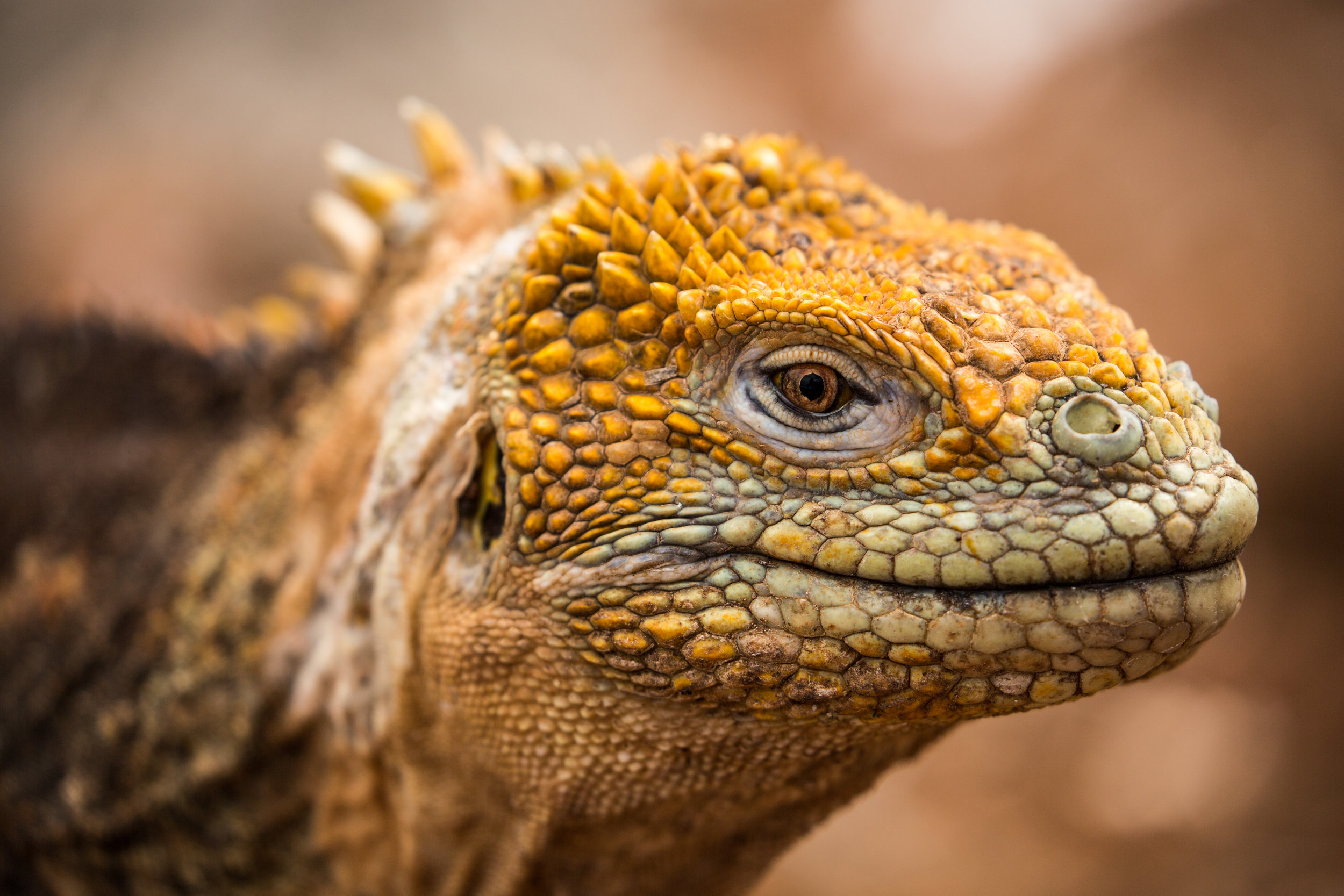 Galapagos land iguana (Conolophus subcristatus) - This iguana is endemic to six of the Galapagos Islands: Fernandina, Isabela, Santa Cruz, North Seymour, Baltra, and South Plaza, but varies in color and morphology from island to island. Charles Darwin described them as