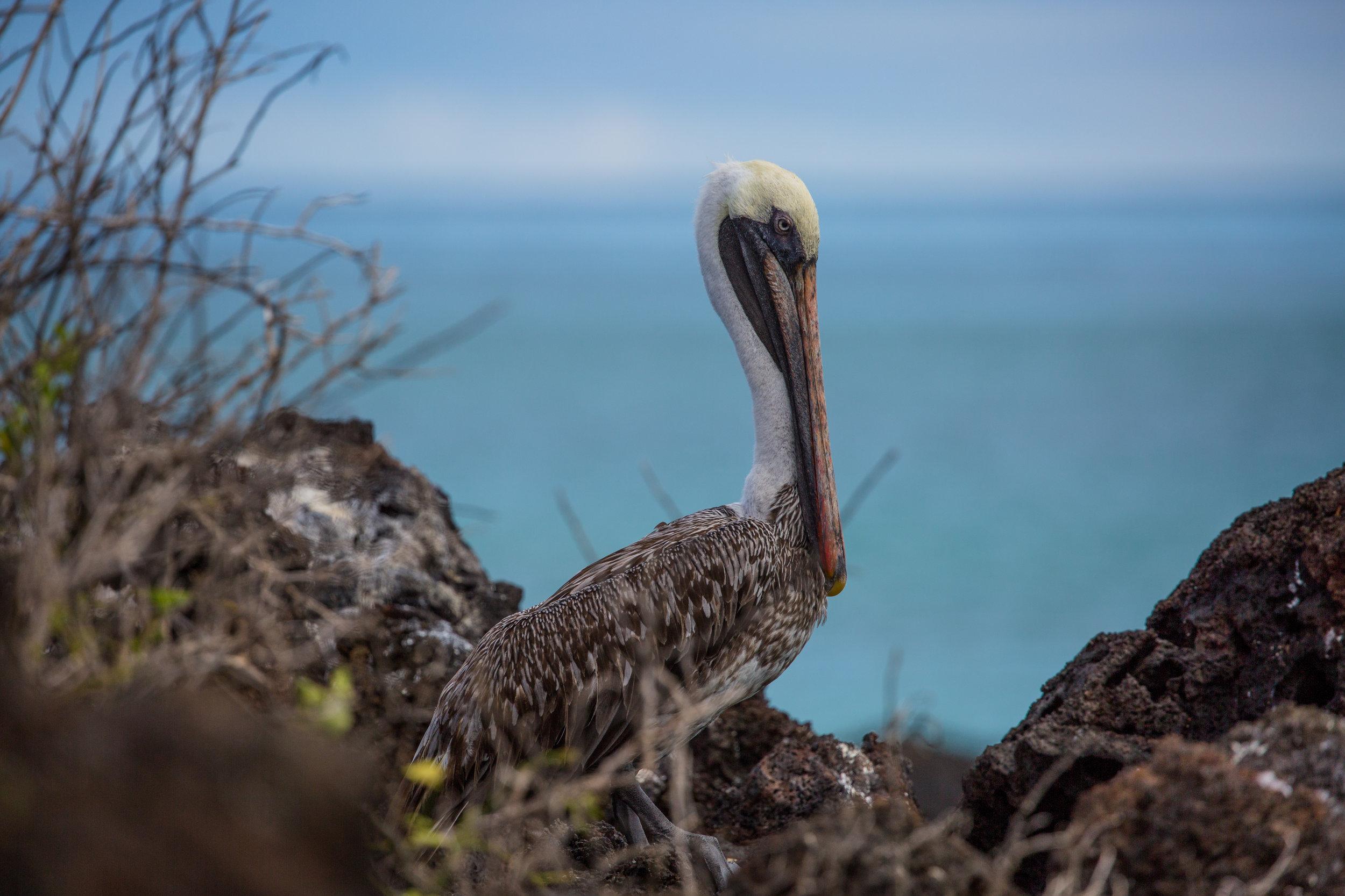 Brown pelican (Pelecanus occidentalis), Santa Cruz Island -