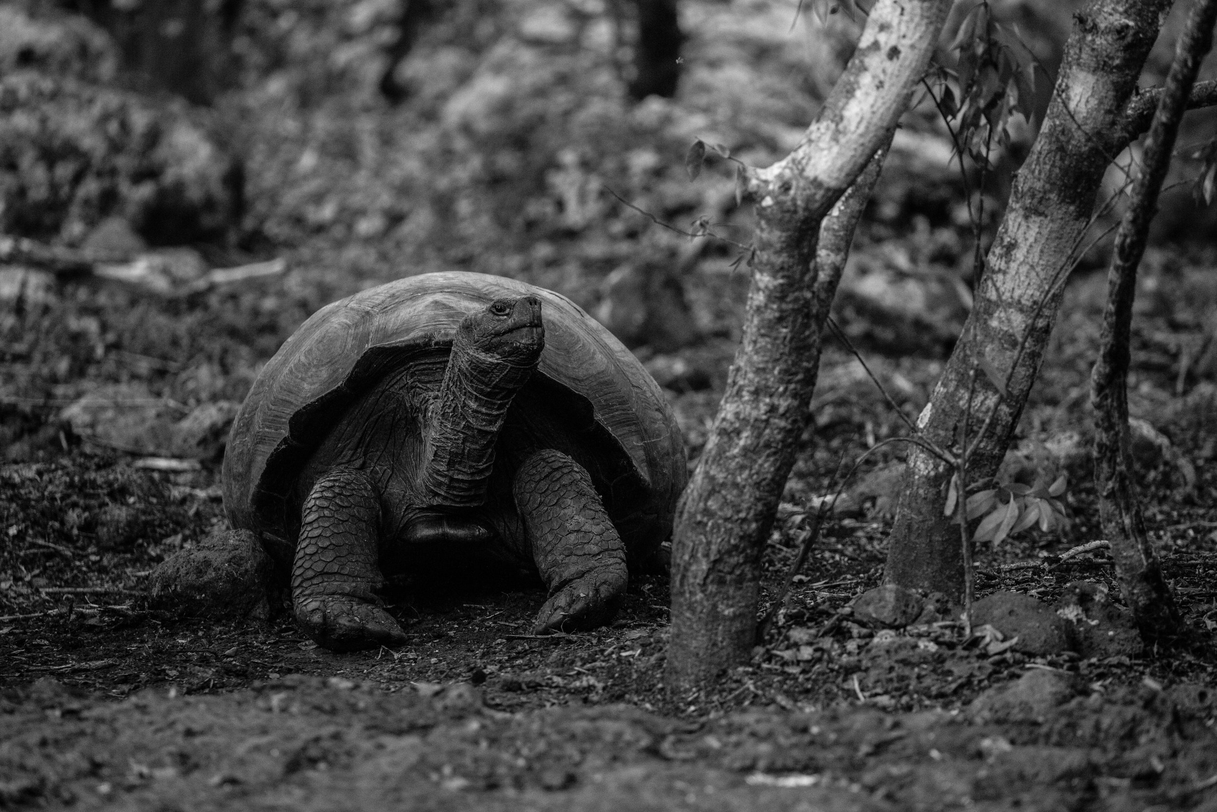 At age 70 male tortoises still have a long life ahead as they can reach 150 years