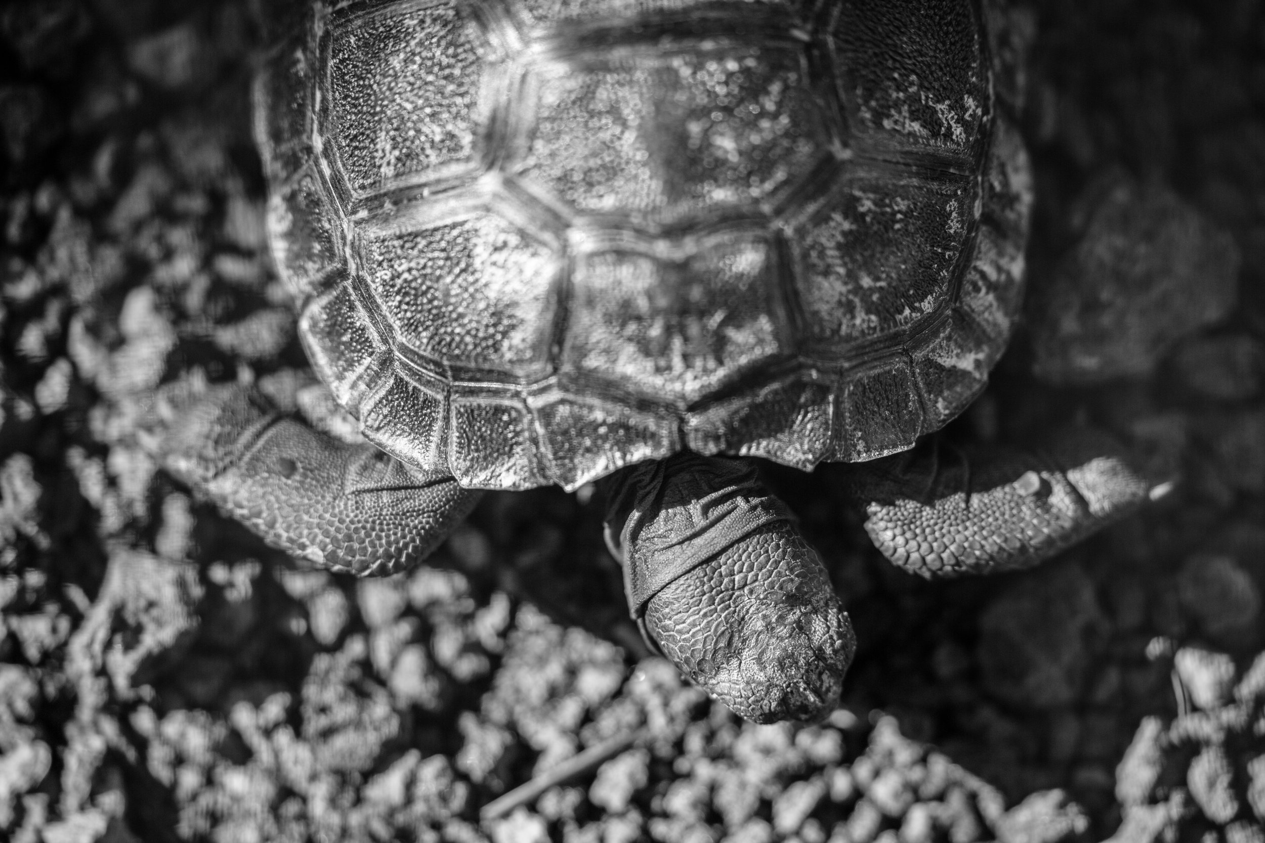 Young tortoises are kept in precincts and protected from threats until they are ready to roam freely