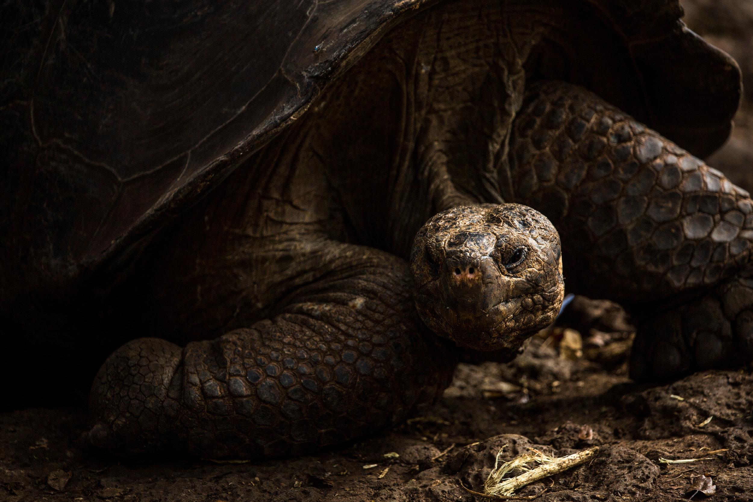 A male giant San Cristóbal tortoise -
