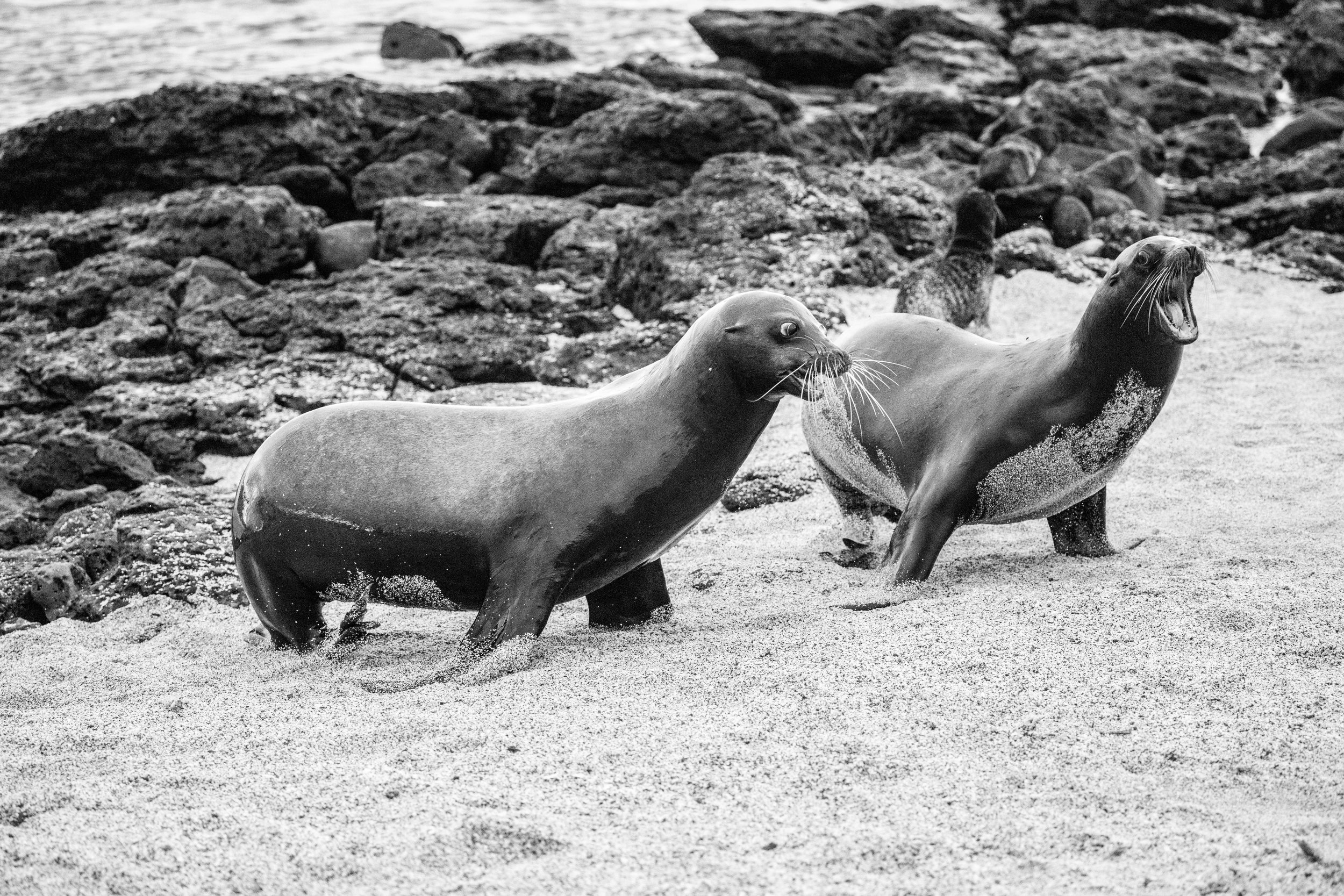 Galapagos_Males_Sea_Lions_Fight.jpg