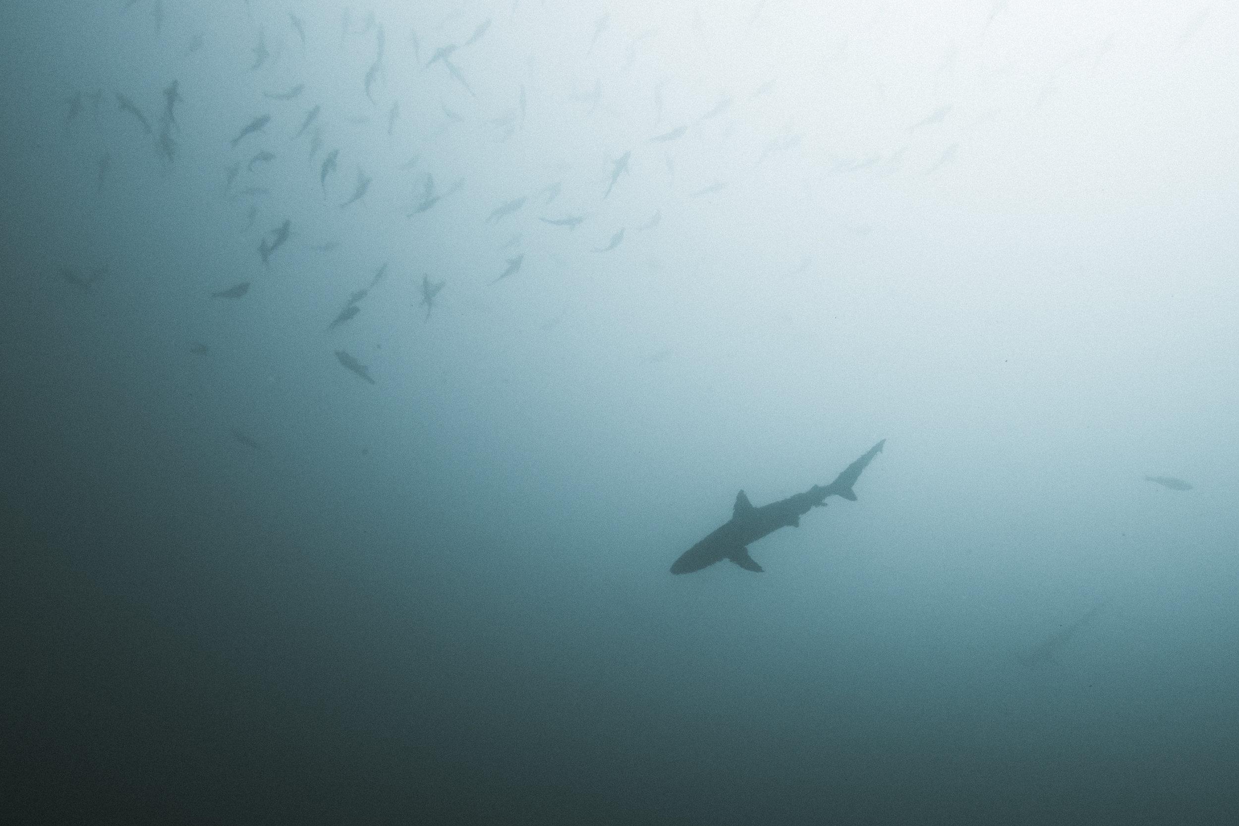 Blacktip reef shark (Carcharhinus melanopterus) - Blacktip reef shark sillouteed with a school of fish at the Gordon Rocks dive site off the coast of Santa Cruz Island.