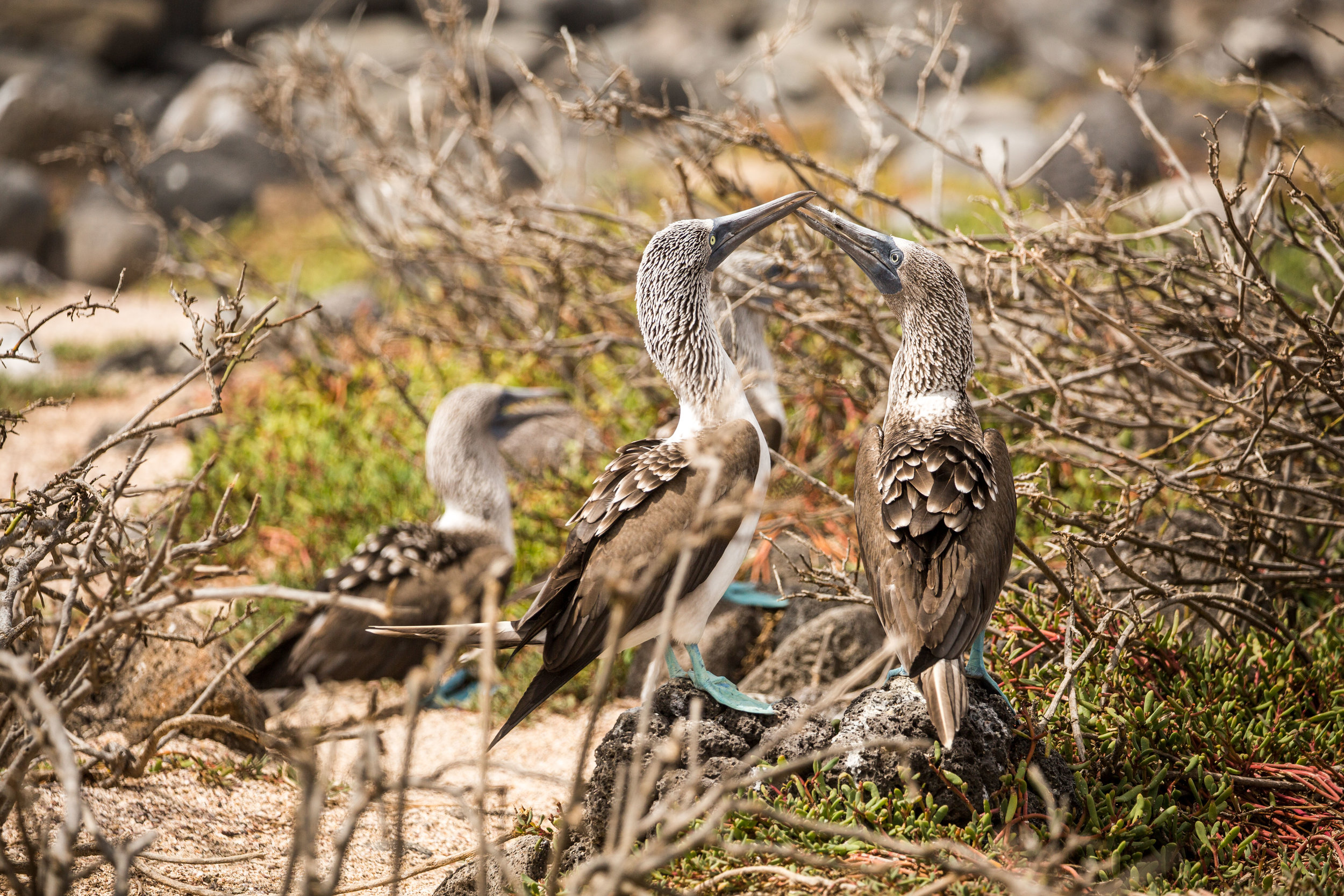 Pair of blue-footed boobies after she was swayed by his dance
