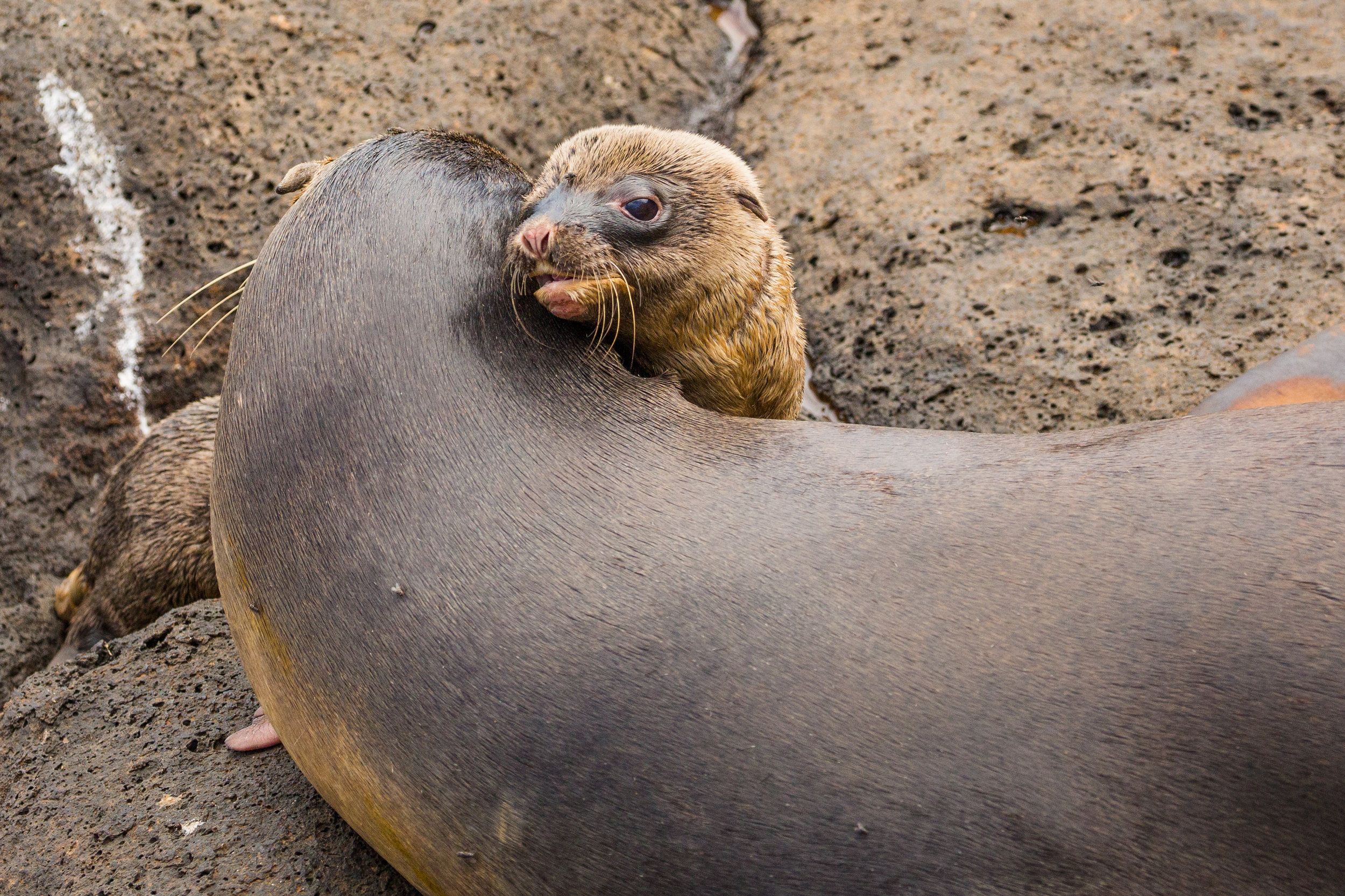 Mother sea lion with her newborn cub