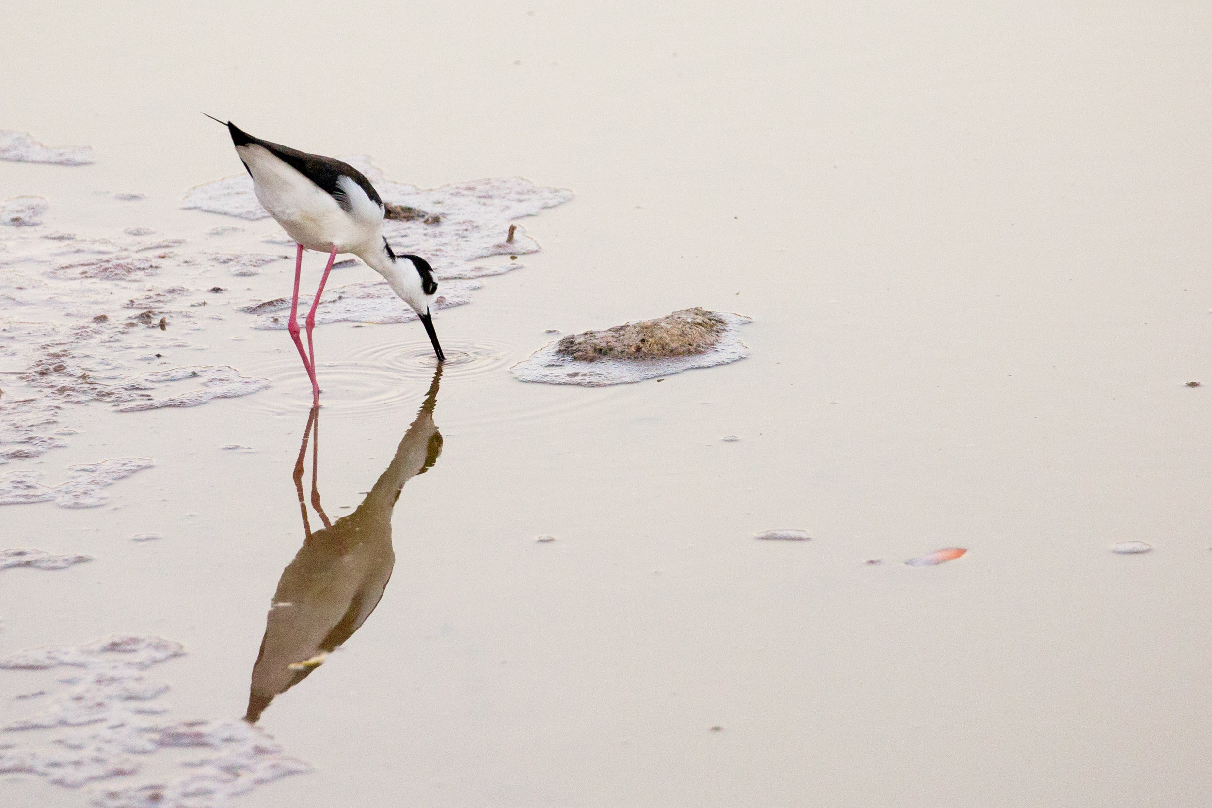 A traveler along the coasts of the Americas, the Black-necked stilt is a rarer occurrence in the Galapagos