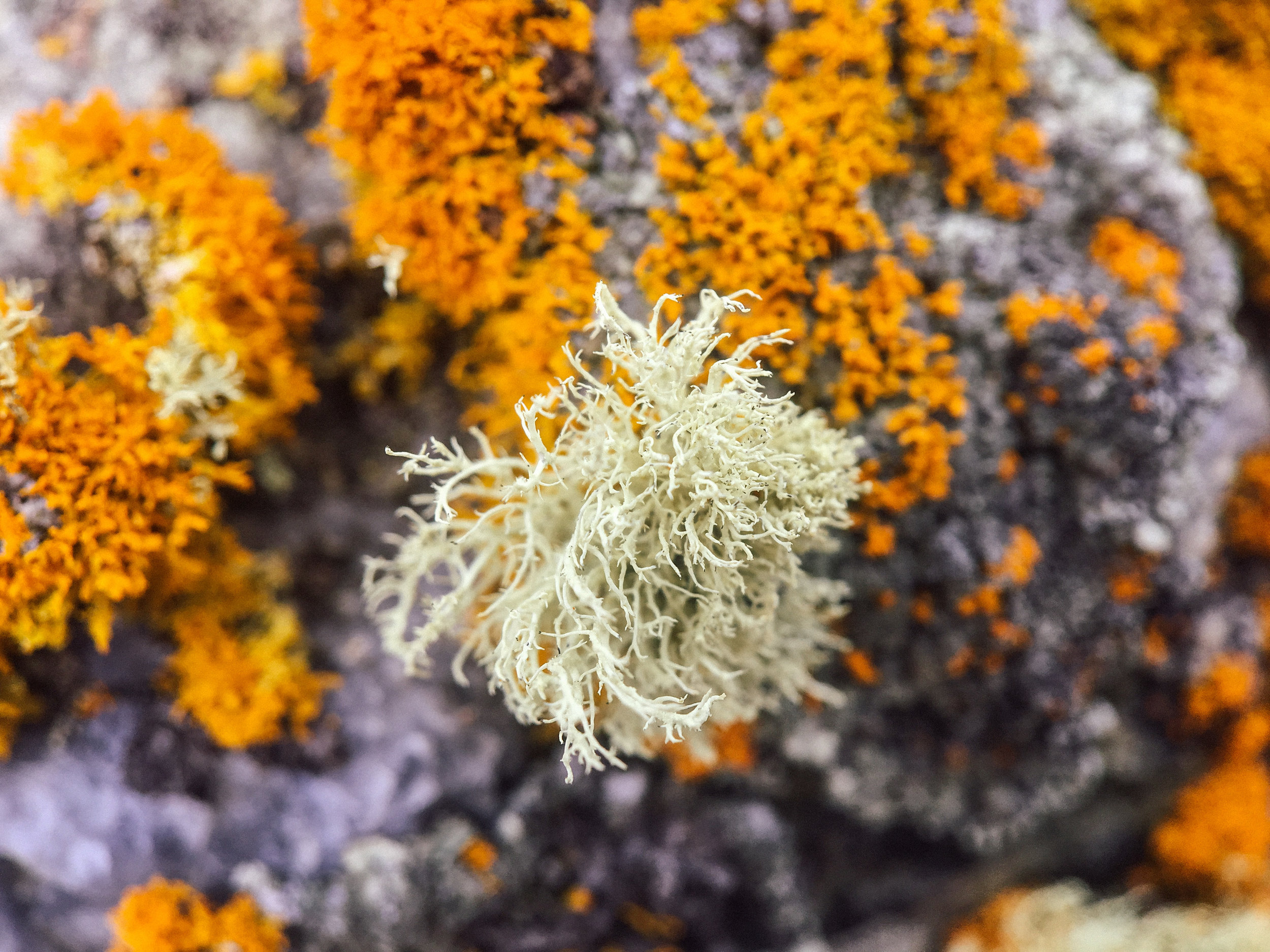 There are at least 20,000 different species worldwide. Here, a type of fruticose lichen.