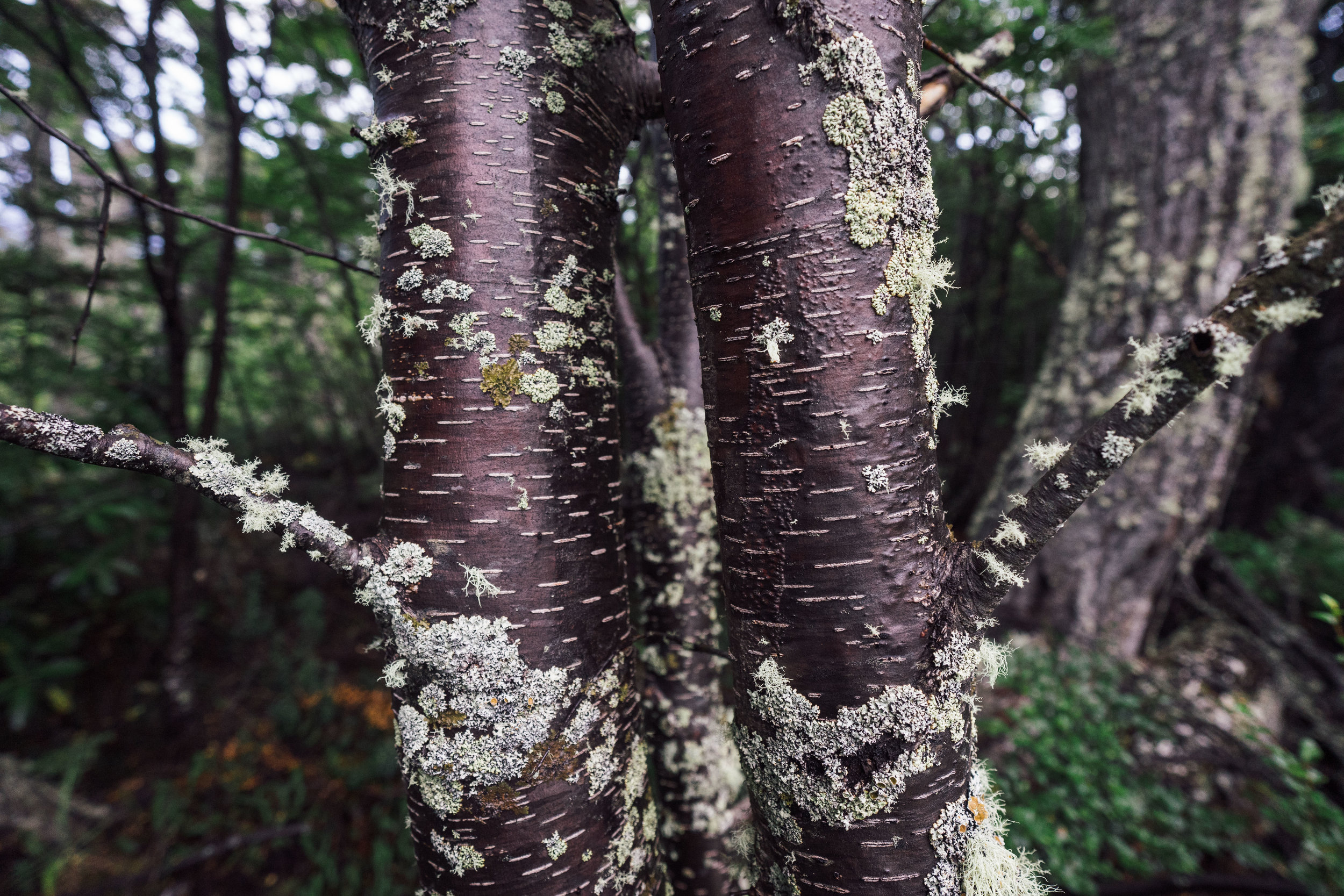 """Lenga"" trees hosting a variety of lichens on their bark"