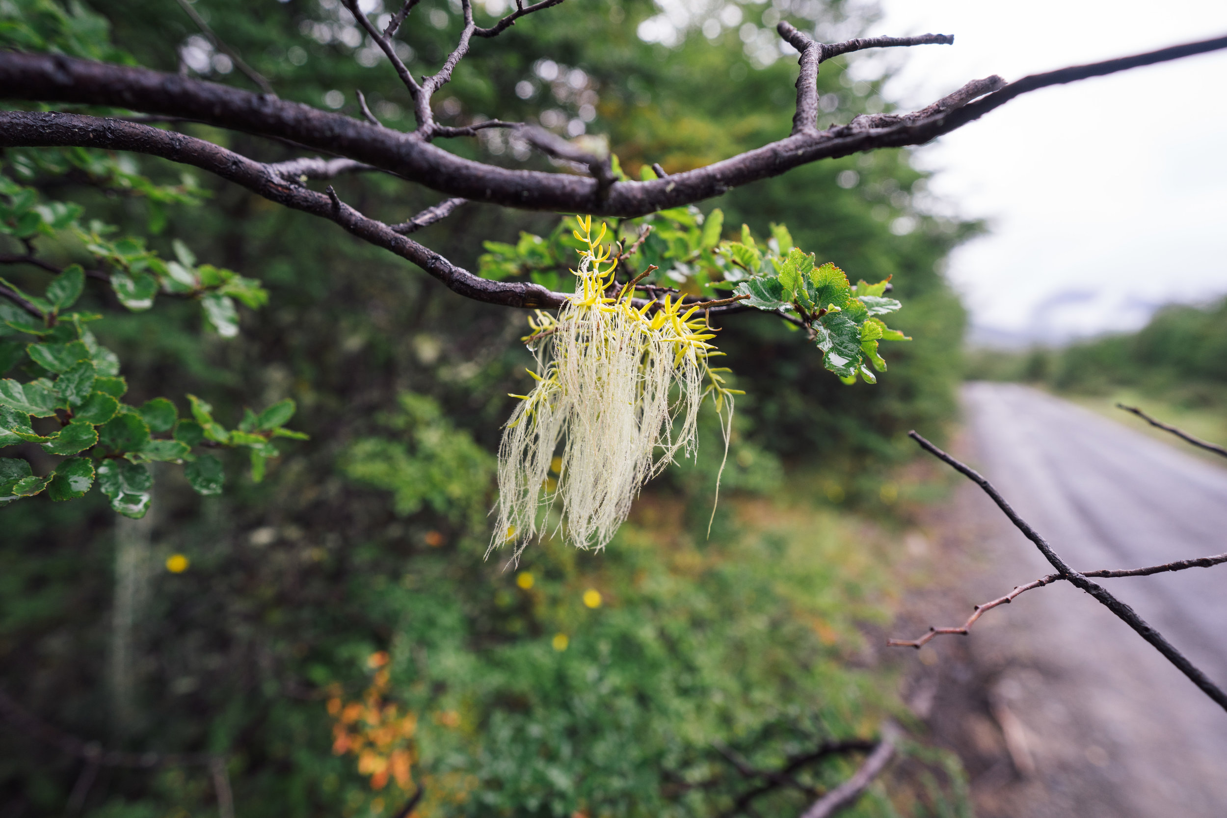 "A small ""Usnea"" lichen on a tree branch"