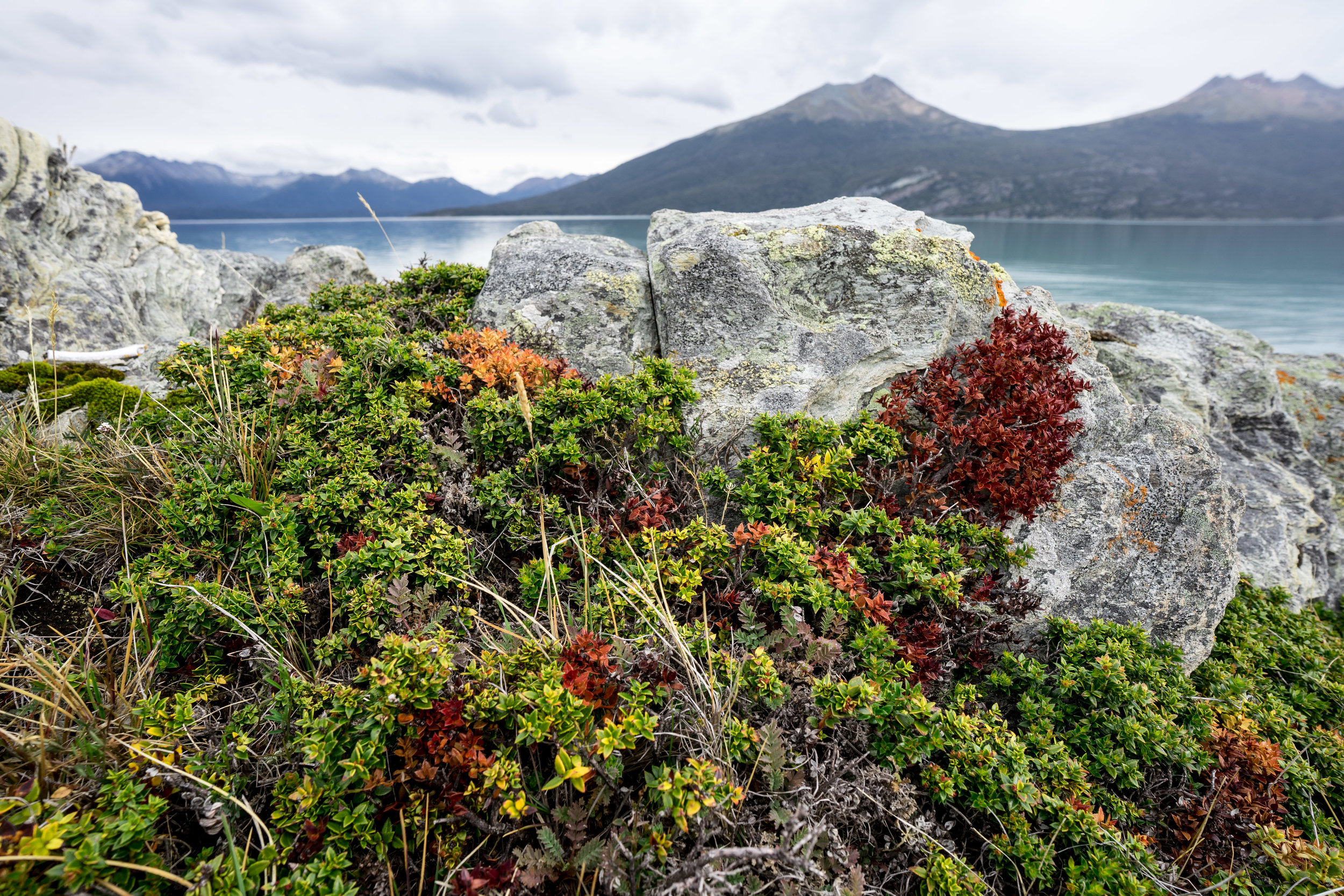 - The colors of the Yendegaia Bay are one of the most mesmerizing memory I have of that place. Moving away from the lichens, mosses and liverworts, I started observing the vascular plant world around me. These shrubs were starting to turn a bright red in anticipation of the approaching fall season. Below are a few of the photos taken of small grass vegetation, succulents and tiny flowers.