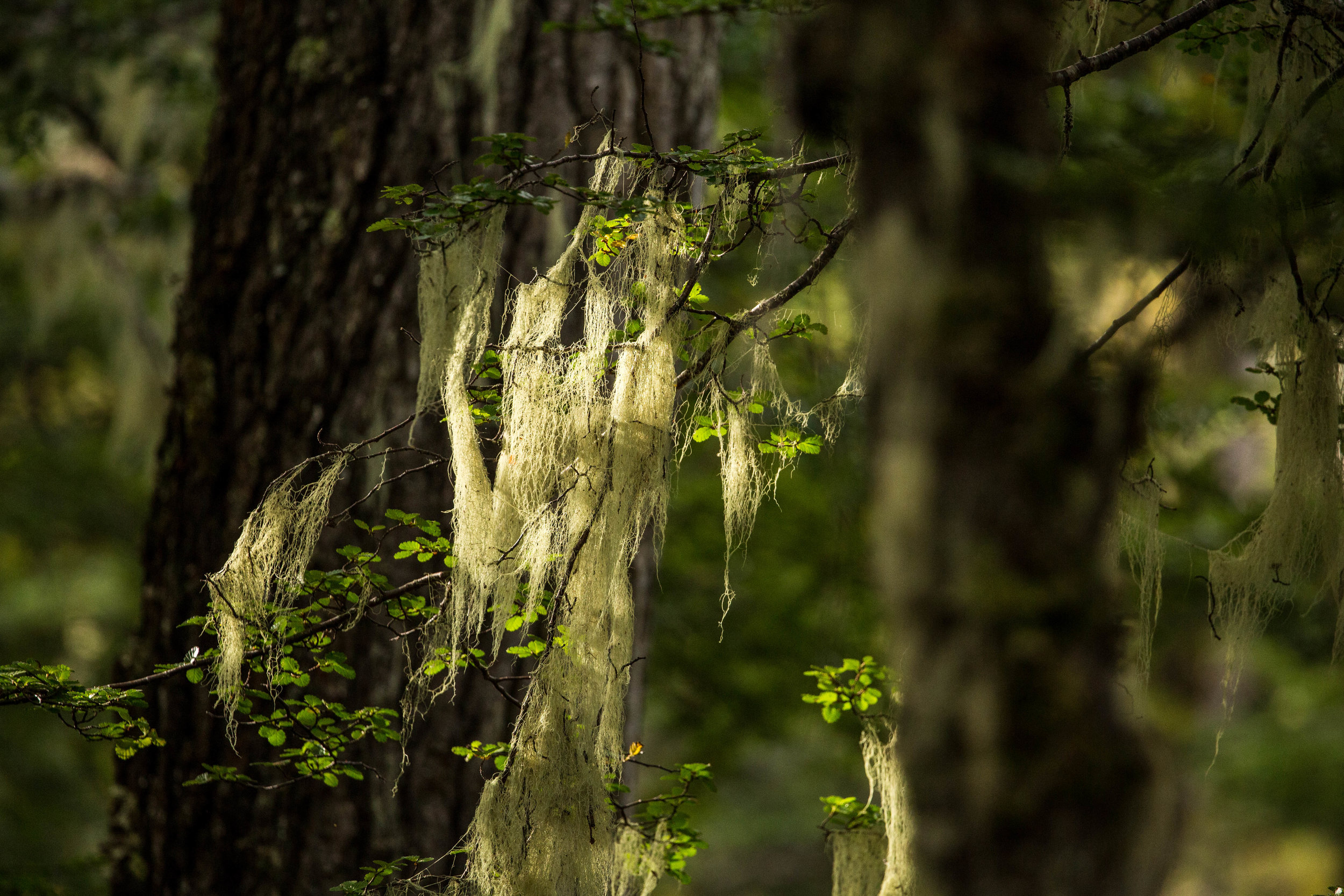 Rich moss and lichens covering branches and trees are signs of health of this old-growth ecosystem.