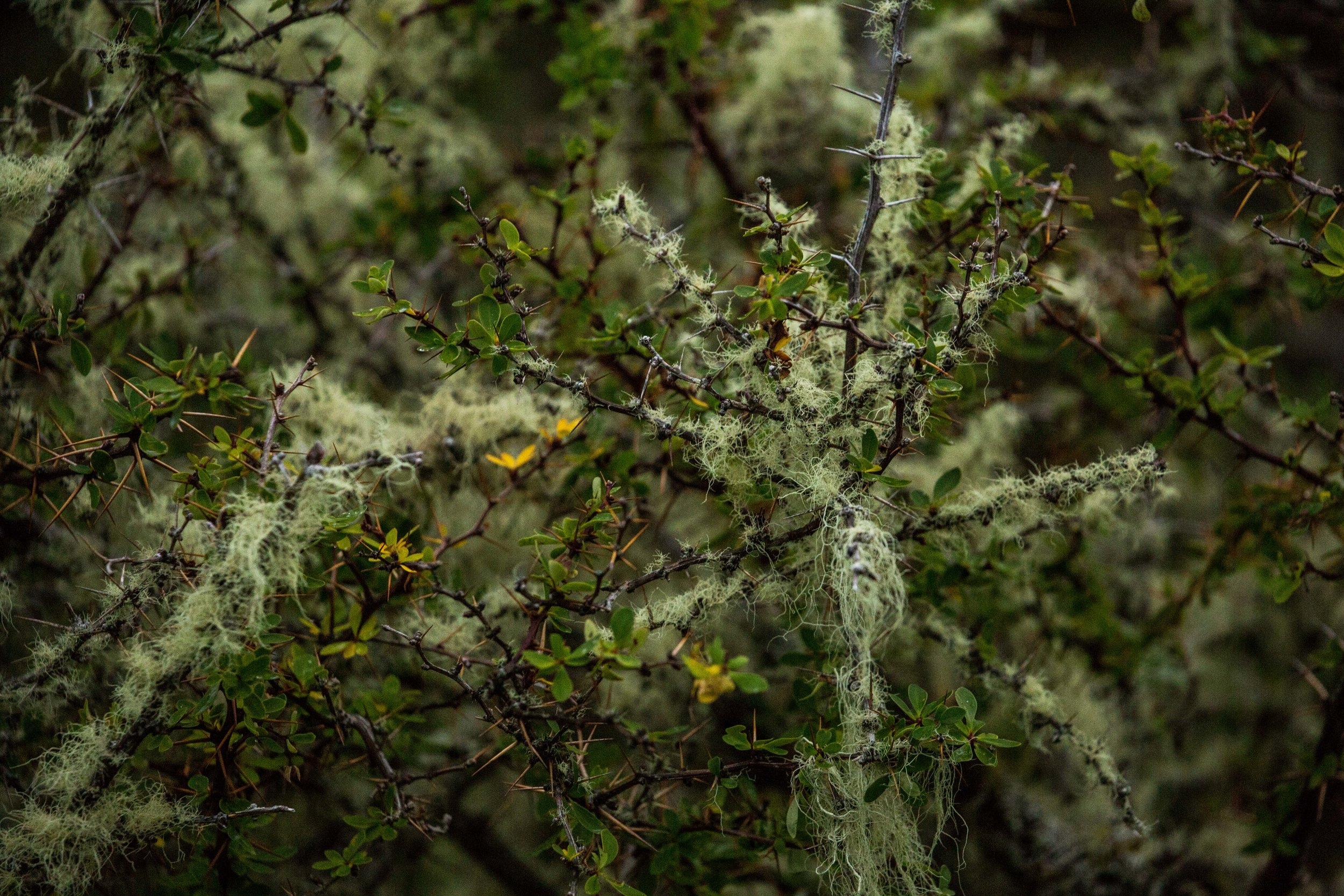 """A """"calafate"""" berry bush covered in moss."""