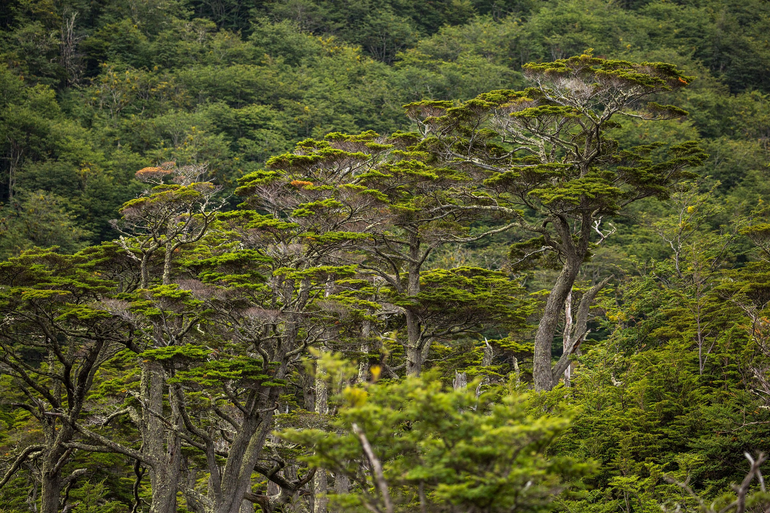 """Evergreen """"coigüe"""" trees standing tall on mountain slopes."""