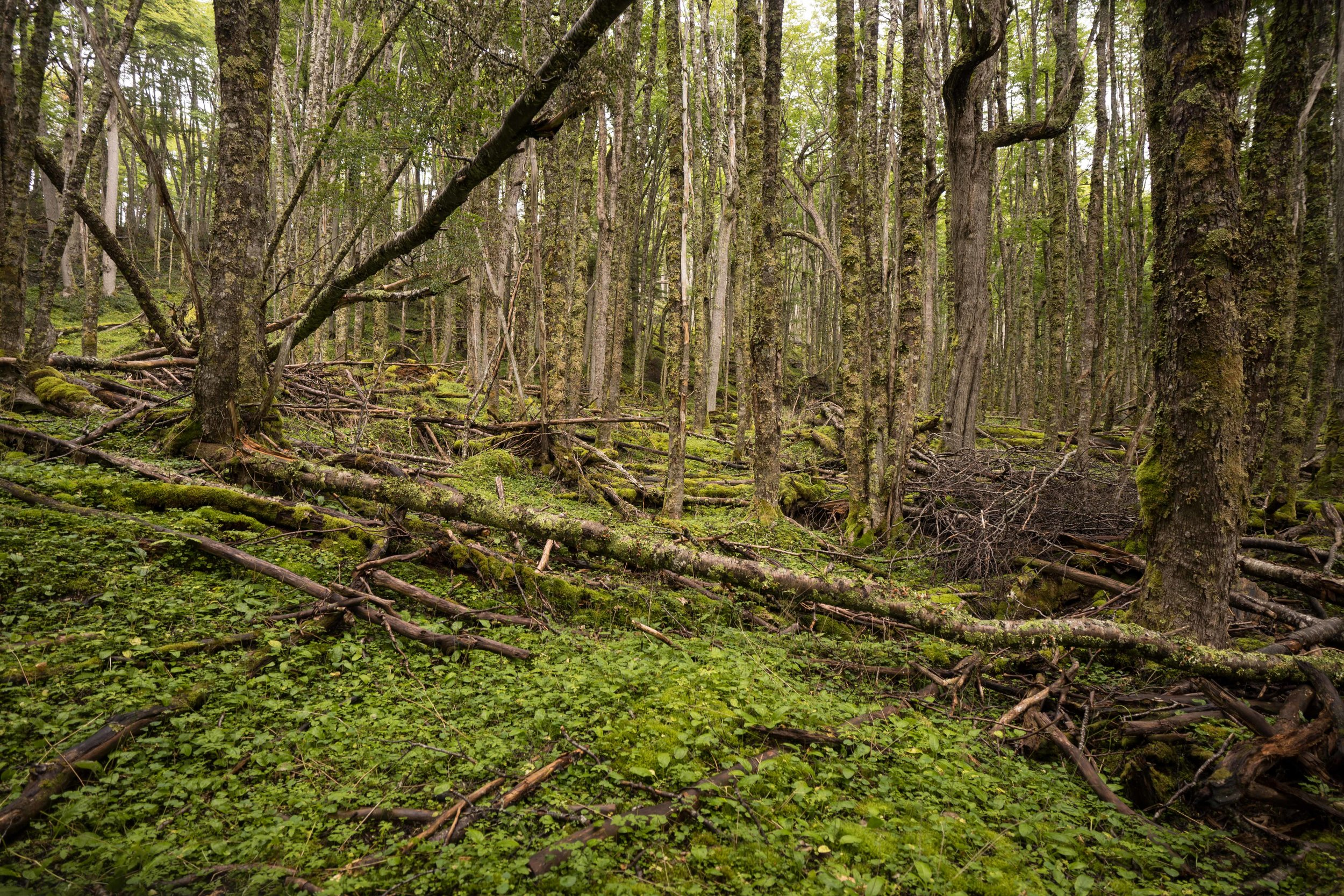 Every patch of forest is also a garden of mosses, lichens and liverworts covering everything.