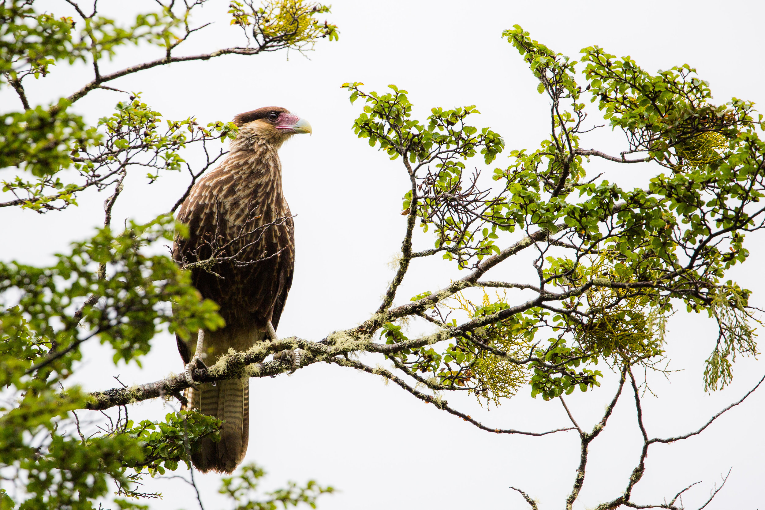 A southern crested caracara greeted us almost at the entrance in the park.