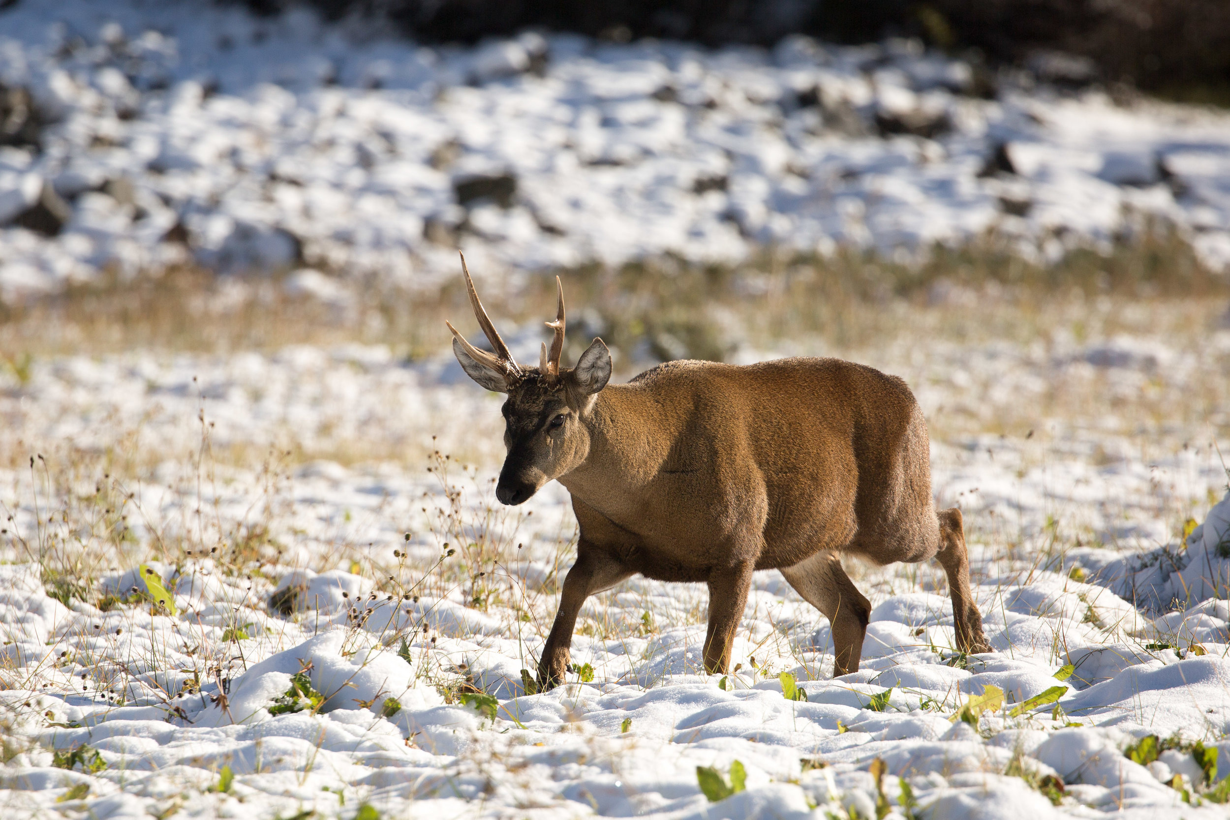 - A male huemul crossing freshly fallen snow. Photo taken at the Cerro Castillo National Reserve, the only place where we finally spotted this elusive species