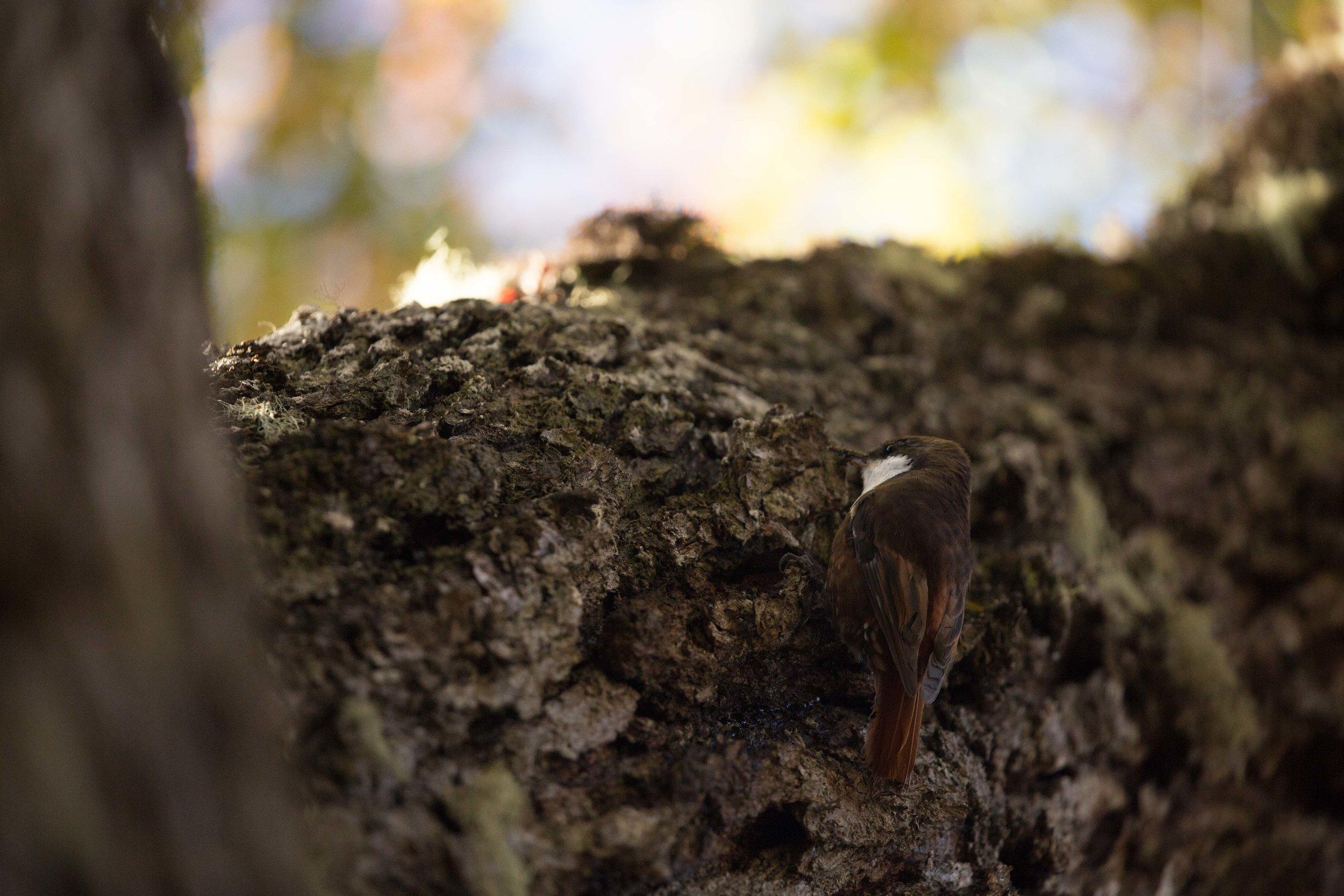 White-throated treerunner (Pygarrhichas albogularis)