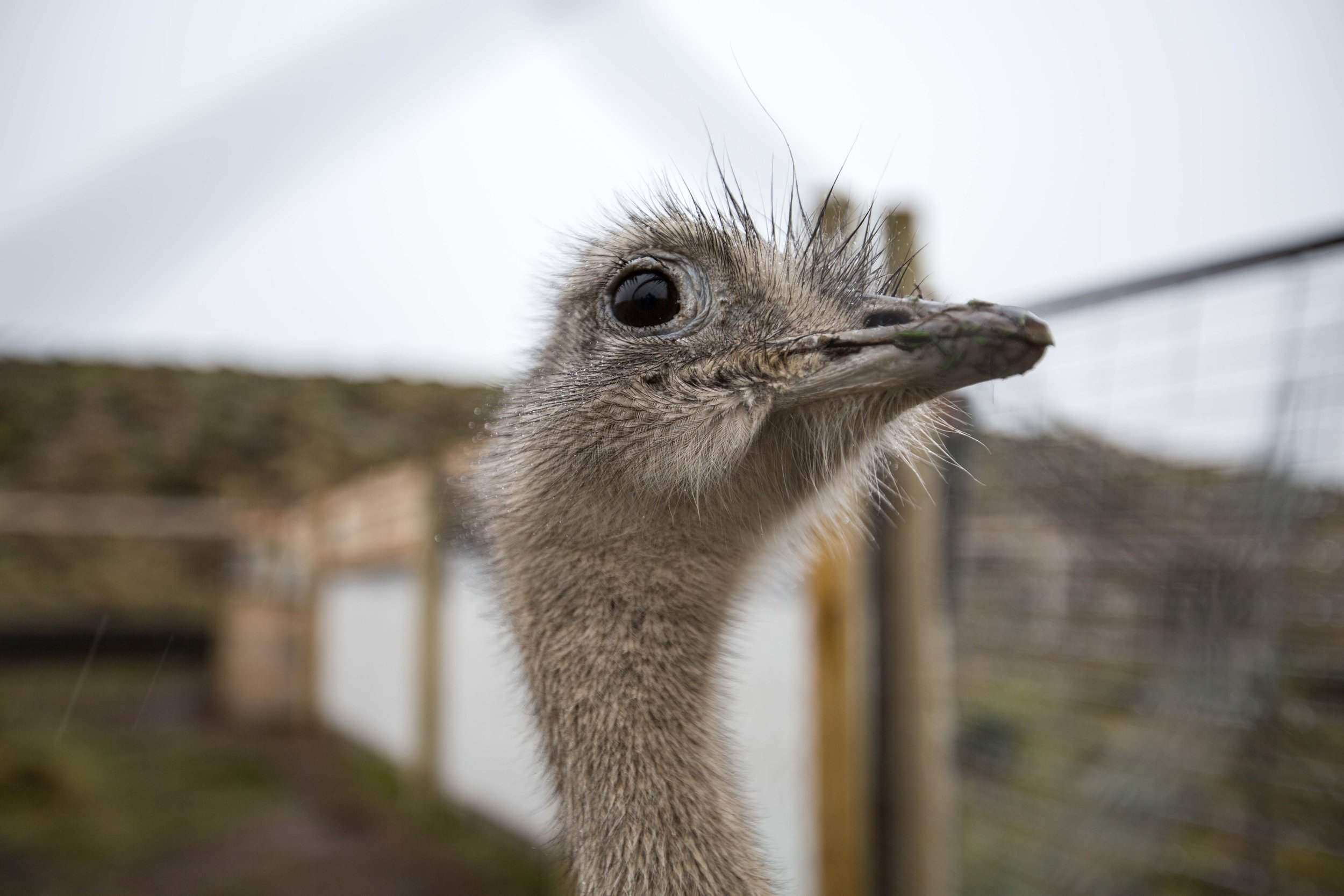 - One of the males looking photogenic in front of Justin's camera. The ñandú is Patagonia's largest terrestrial bird species, but it is significantly smaller than the ostrich with which it is related.