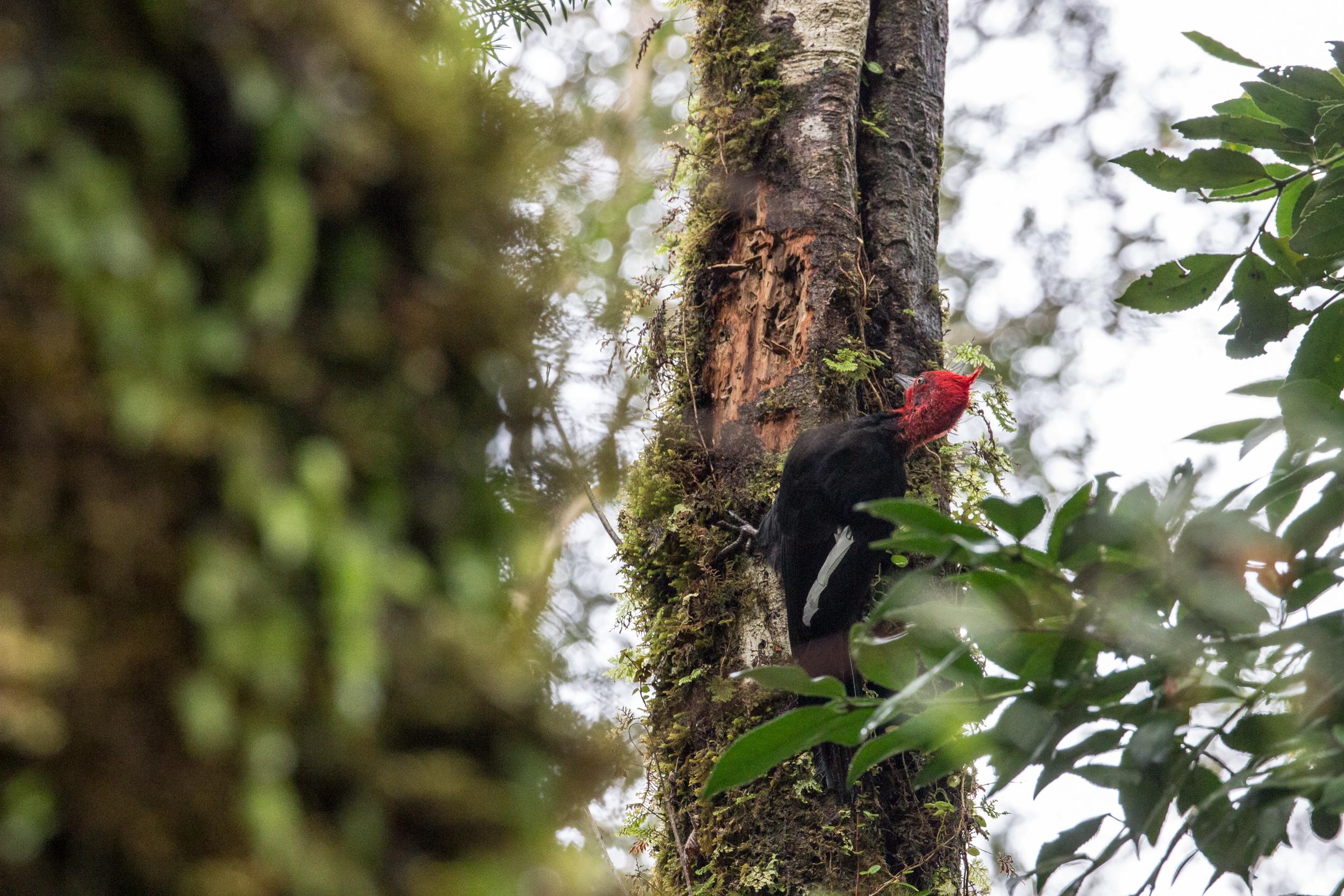 A male Magellanic woodpecker
