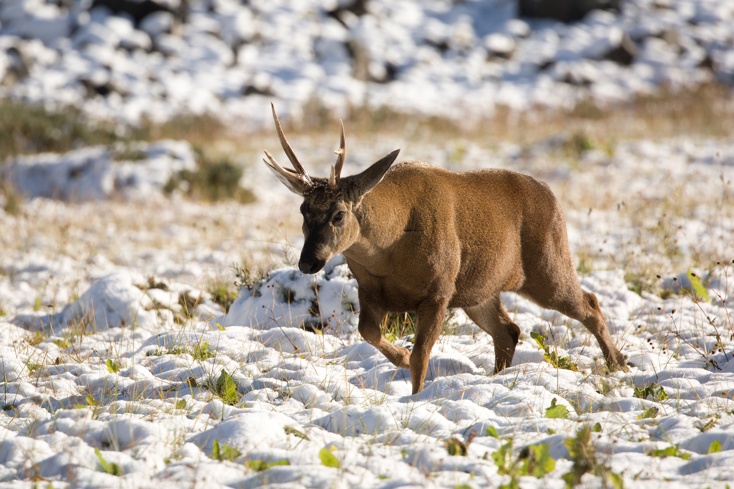 huemul (Hippocamelus bisulcus) - The huemul, or south Andean deer, is an extremely rare species of deer native to Chilean Patagonia and Argentina. With an estimated population of 1,500 left in the wild, the future Patagonia National Park is working to ensure their habitat remains conserved.