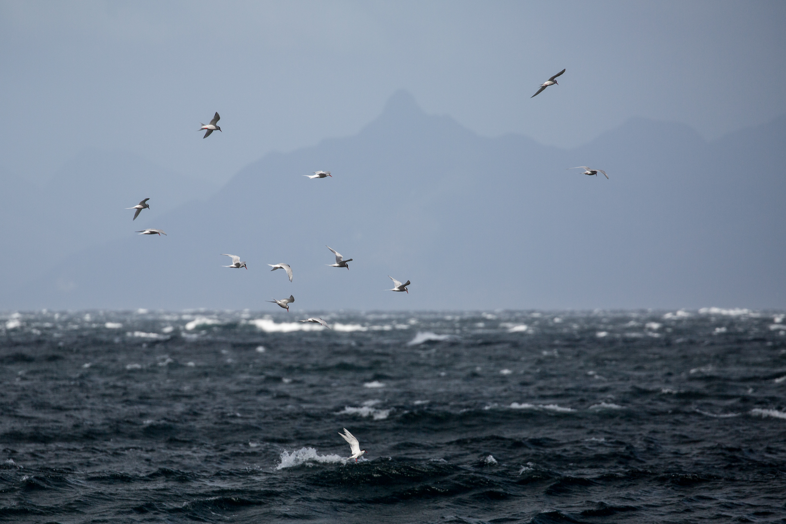 South American terns (Sterna hirundinacea) - South American terns feeding off the coast of Cabo Froward, the southernmost point of South America's mainland.