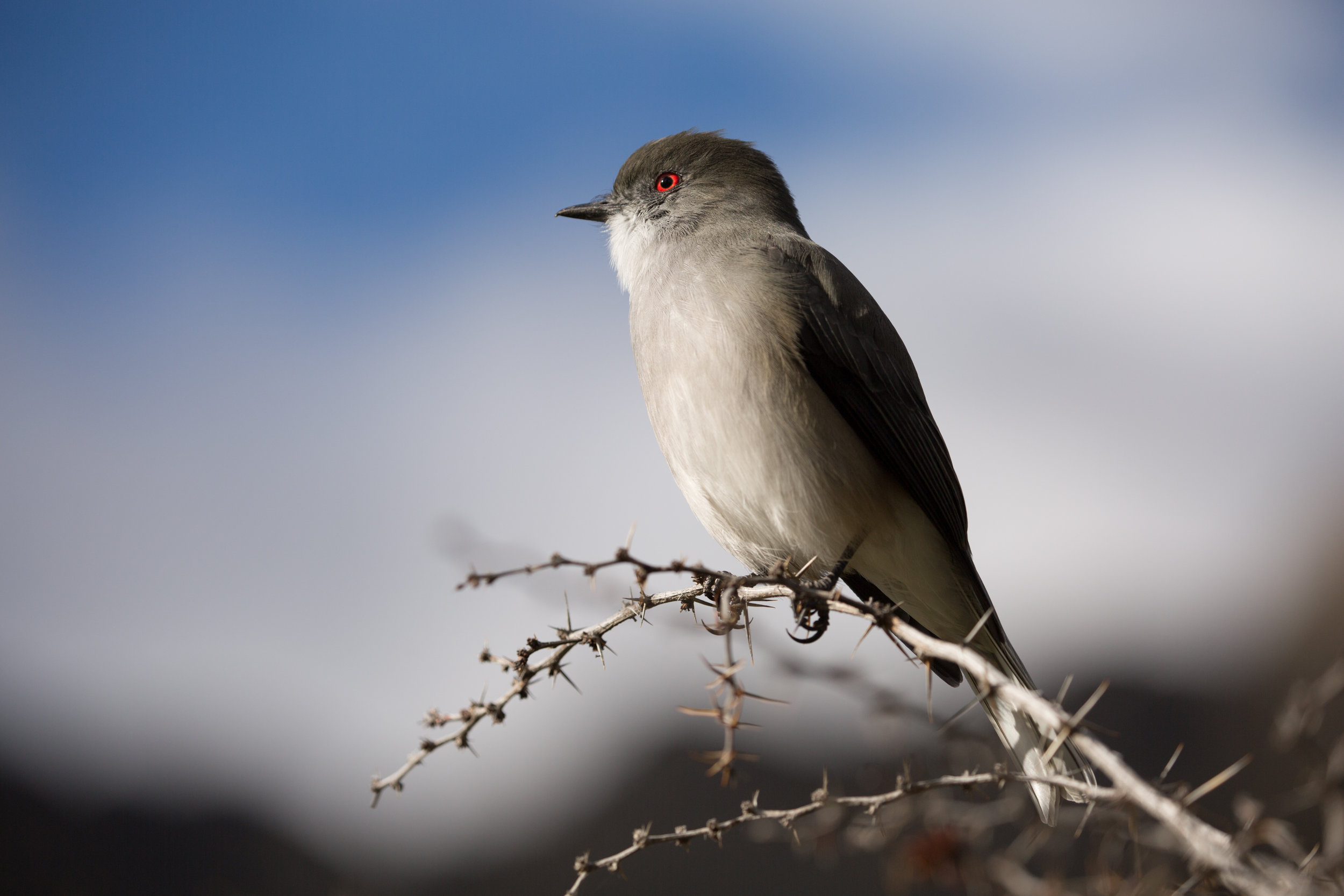 fire-eyed diucon (Xolmis pyrope) - A fire-eyed diucon in Valle Chacabuco, part of the future Patagonia National Park. These small birds are found in Chile and Argentina, their red eyes always making them distinguishable.