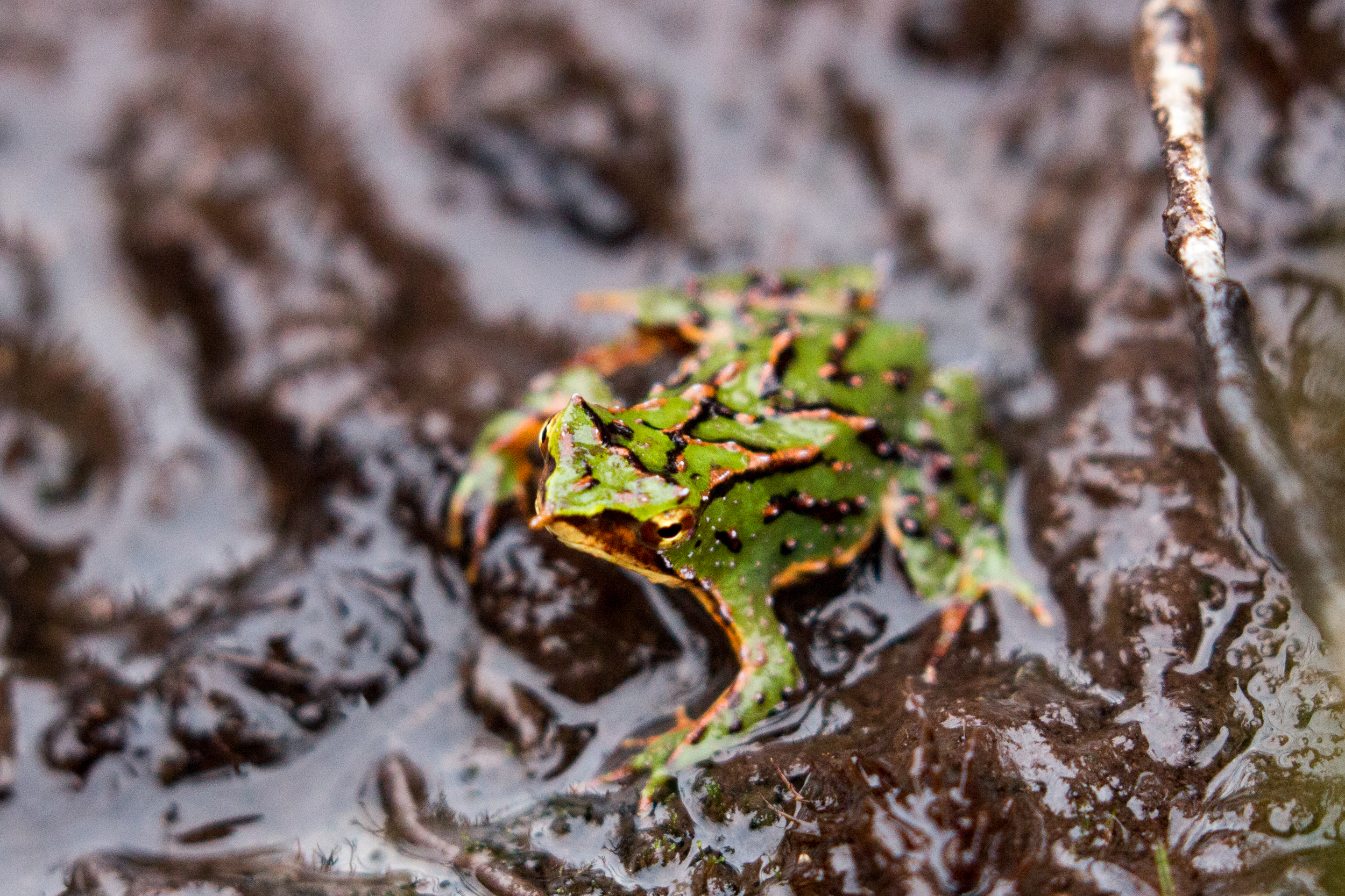 southern Darwin's frog (Rhinoderma darwinii) - The southern Darwin's frog, a tiny resident of the temperate rainforests of Chile and Argentina. Called the