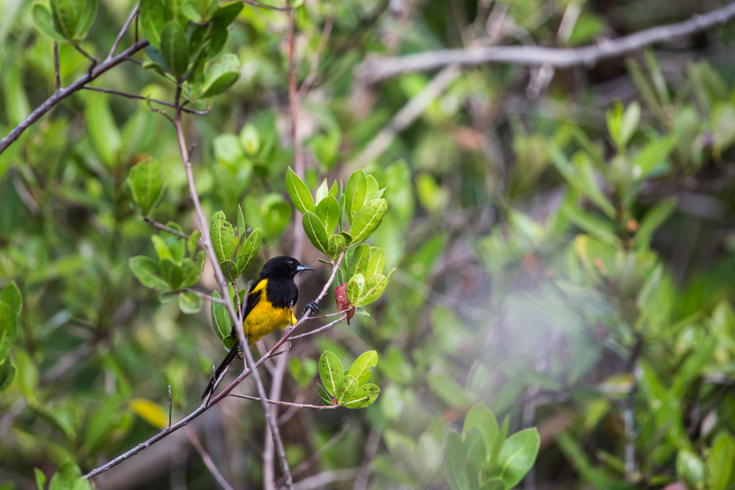 black-vented oriole (Icterus wagleri) - These large orioles reside in Mexico and Central America, occasionally making their way into the southwestern US.