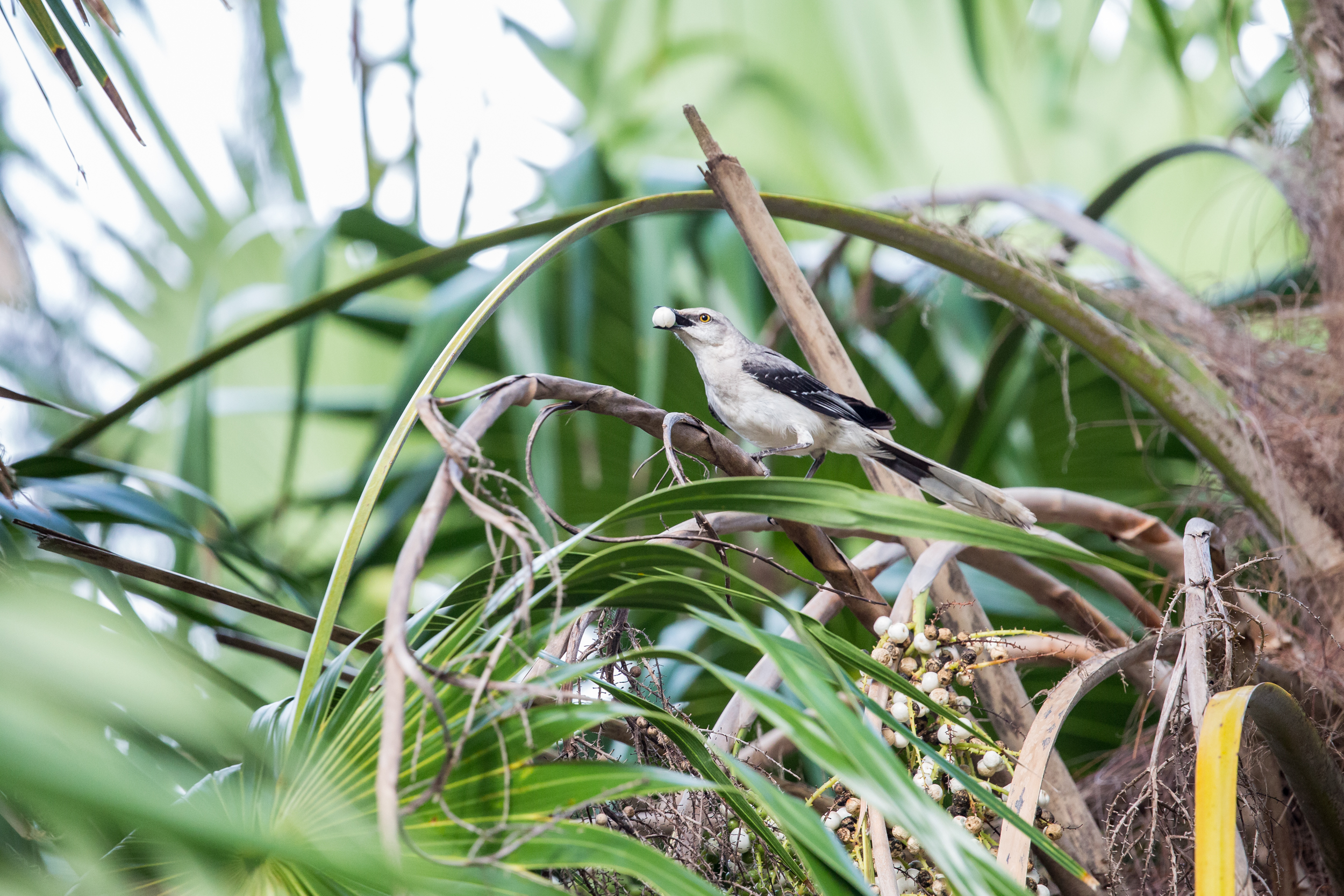 tropical mockingbird (Mimus gilvus) - A tropical mockingbird grabbing a berry in the Sian Ka'an Biosphere Reserve. These fearless birds will aggressively protect their nests against large predators such as black iguanas or dogs.