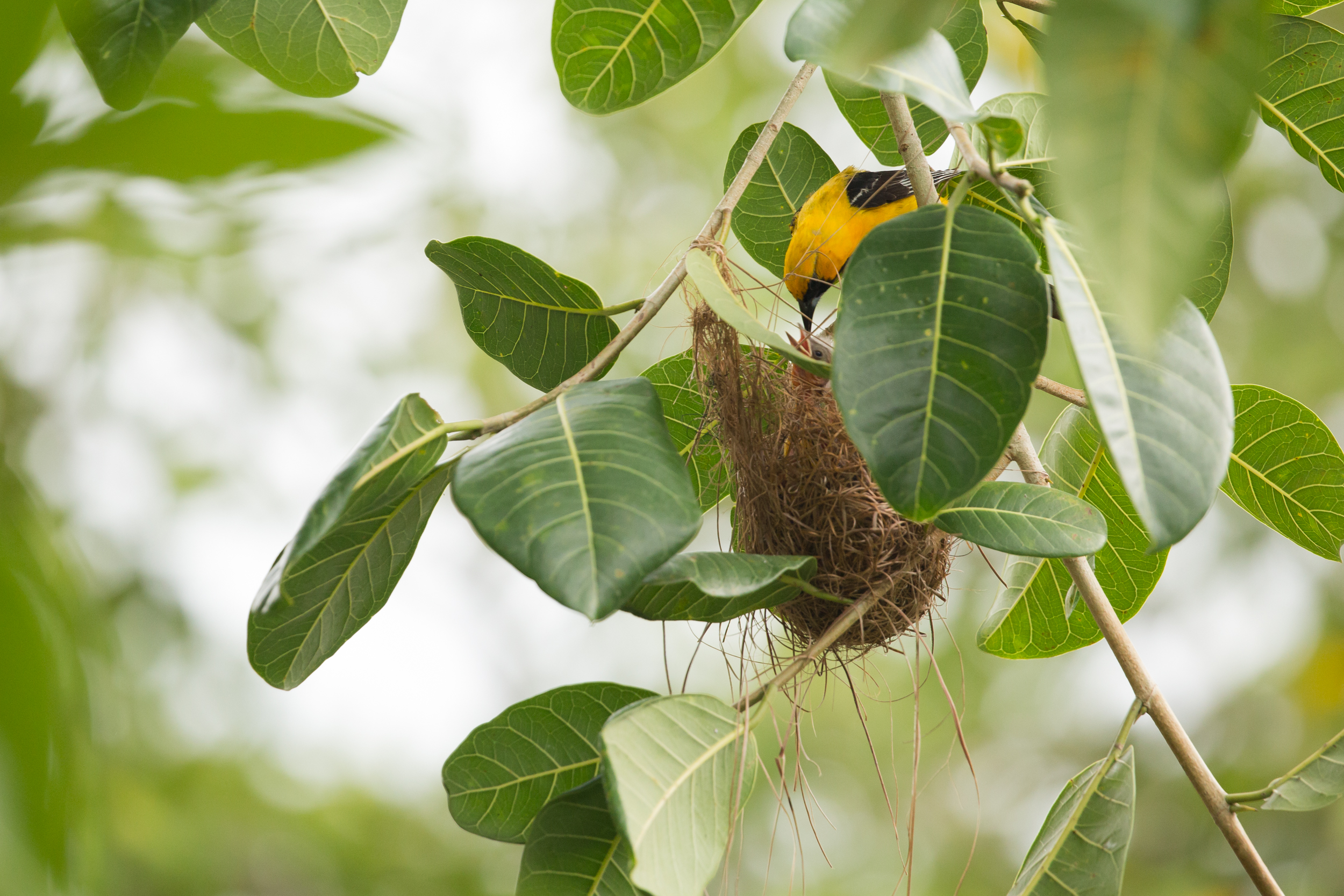 hooded oriole (Icterus cucullatus) - A male feeding its chicks in the nest. Native to the southwestern US, Mexico and Belize, these birds mostly eat fruit, nectar and insects.