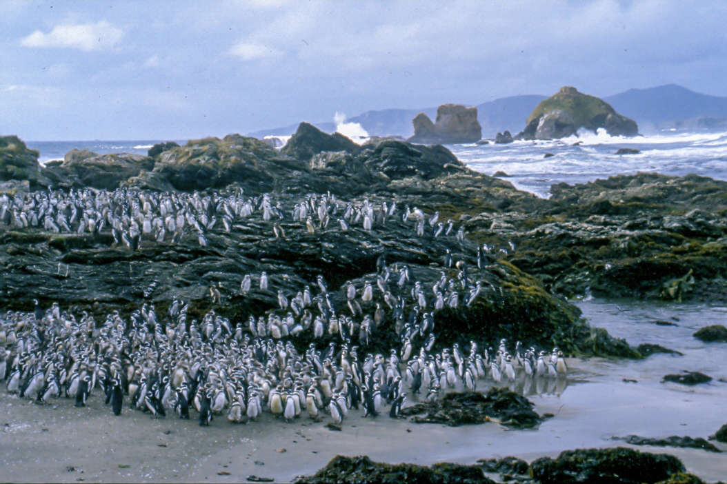 - The penguin colony on the coast of the Ahuenco Park
