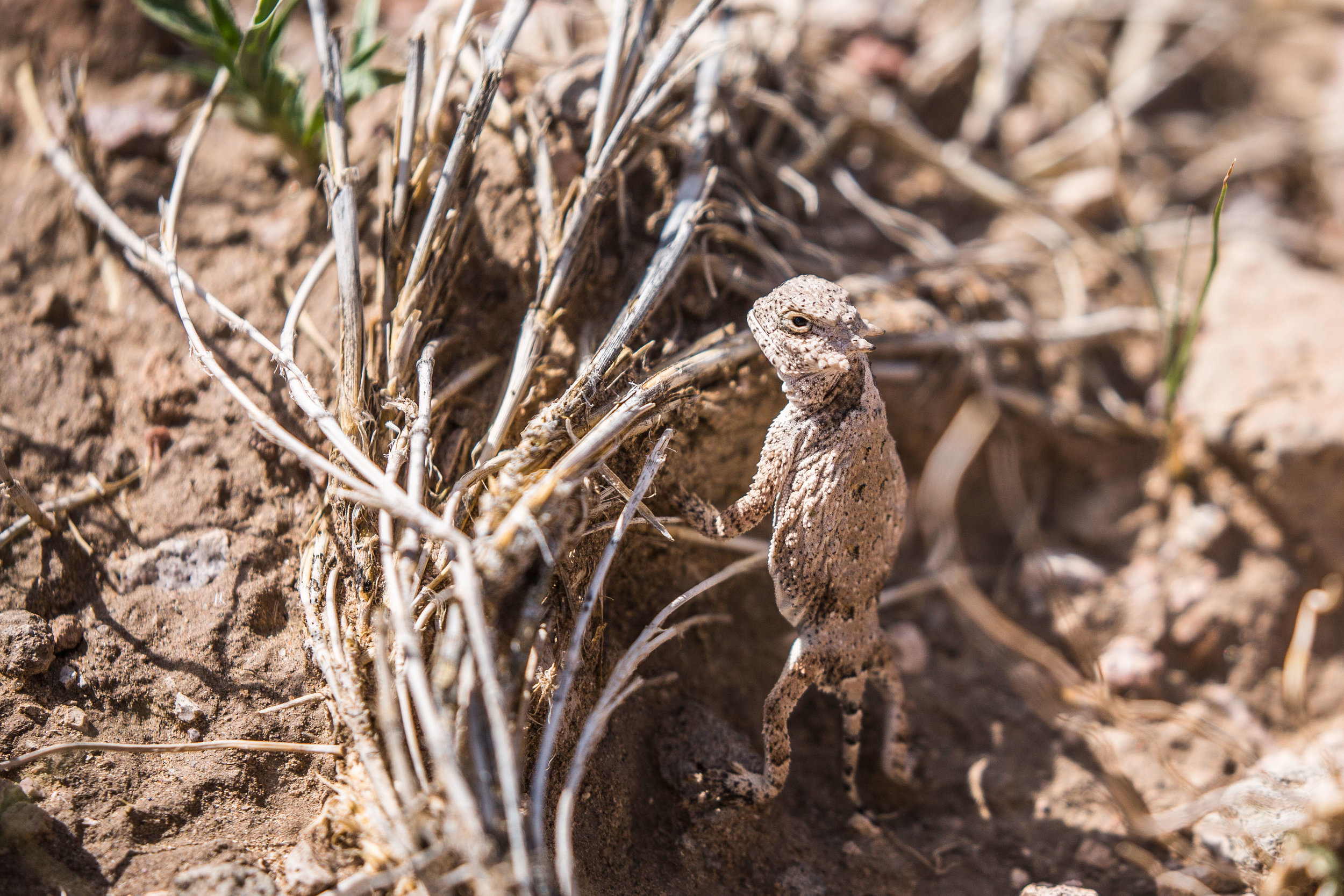 roundtail horned lizard (Phrynosoma modestum) - A roundtail horned lizard at Organ Mountains-Desert Peaks NM observing us as we observe it.