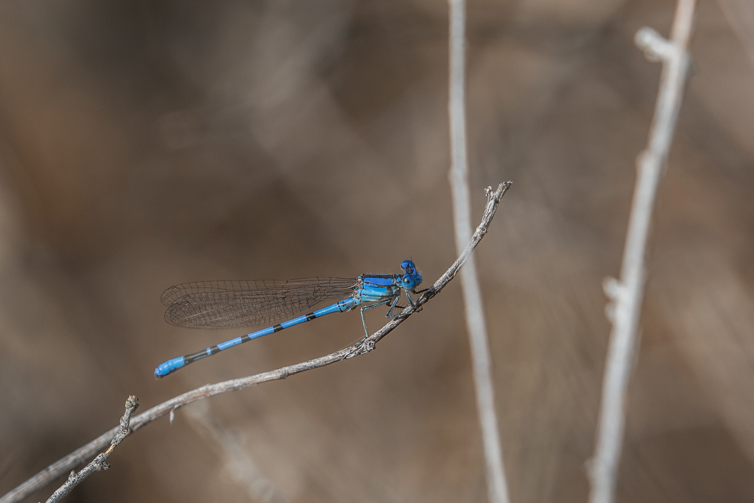 Tule bluet (Enallagma carunculatum) - Tule bluet, a species of damselfly, in Rio Grande del Norte National Monument.