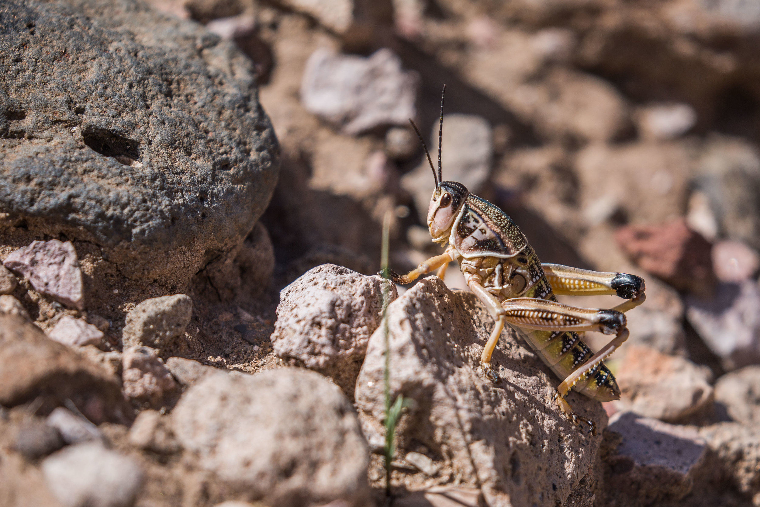 plains lubber grasshopper (Brachystola magna) - A plains lubber grasshopper also known as the