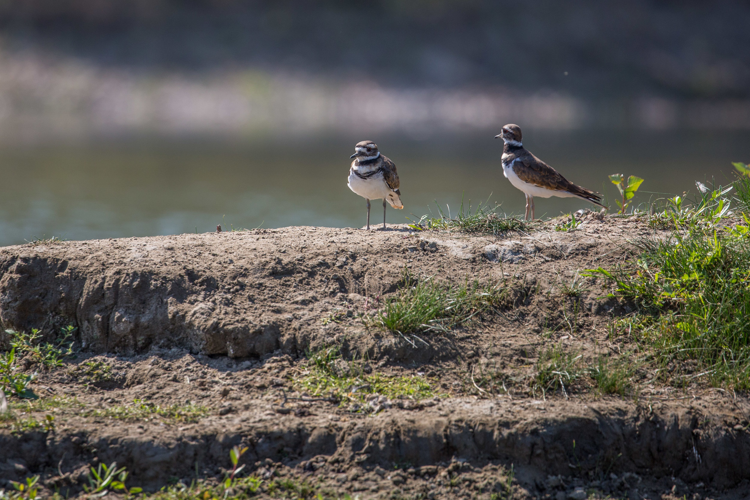 killdeer (Charadrius vociferus) - A pair of killdeer along the banks of a small island in the Upper Missouri River. This species of plover is known for its acting skills: when a threat approaches, it will act as if its wing is broken to distract the predator away from the nest.