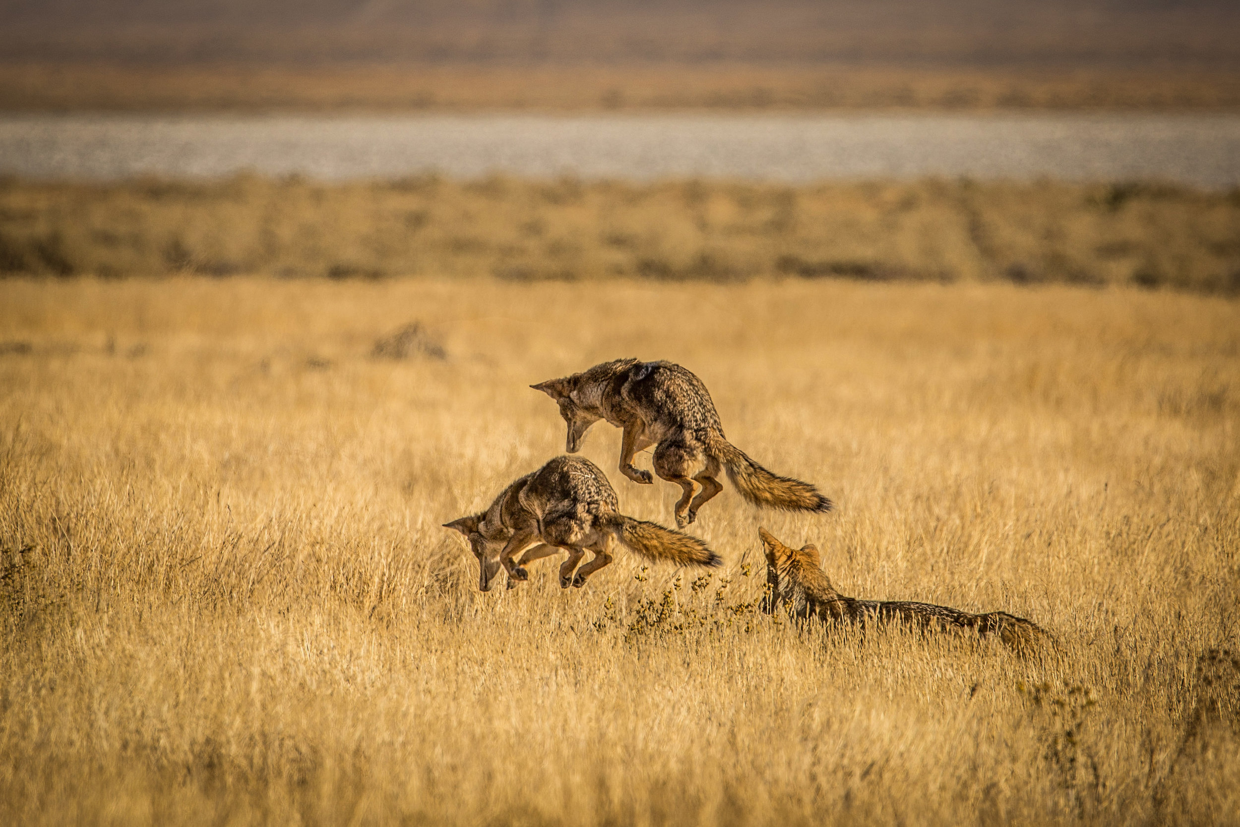 - A sequence of a coyote hunting rodents at Carrizo Plain NM. We watched him or her do this three times, with a 2 out of 3 success rate.