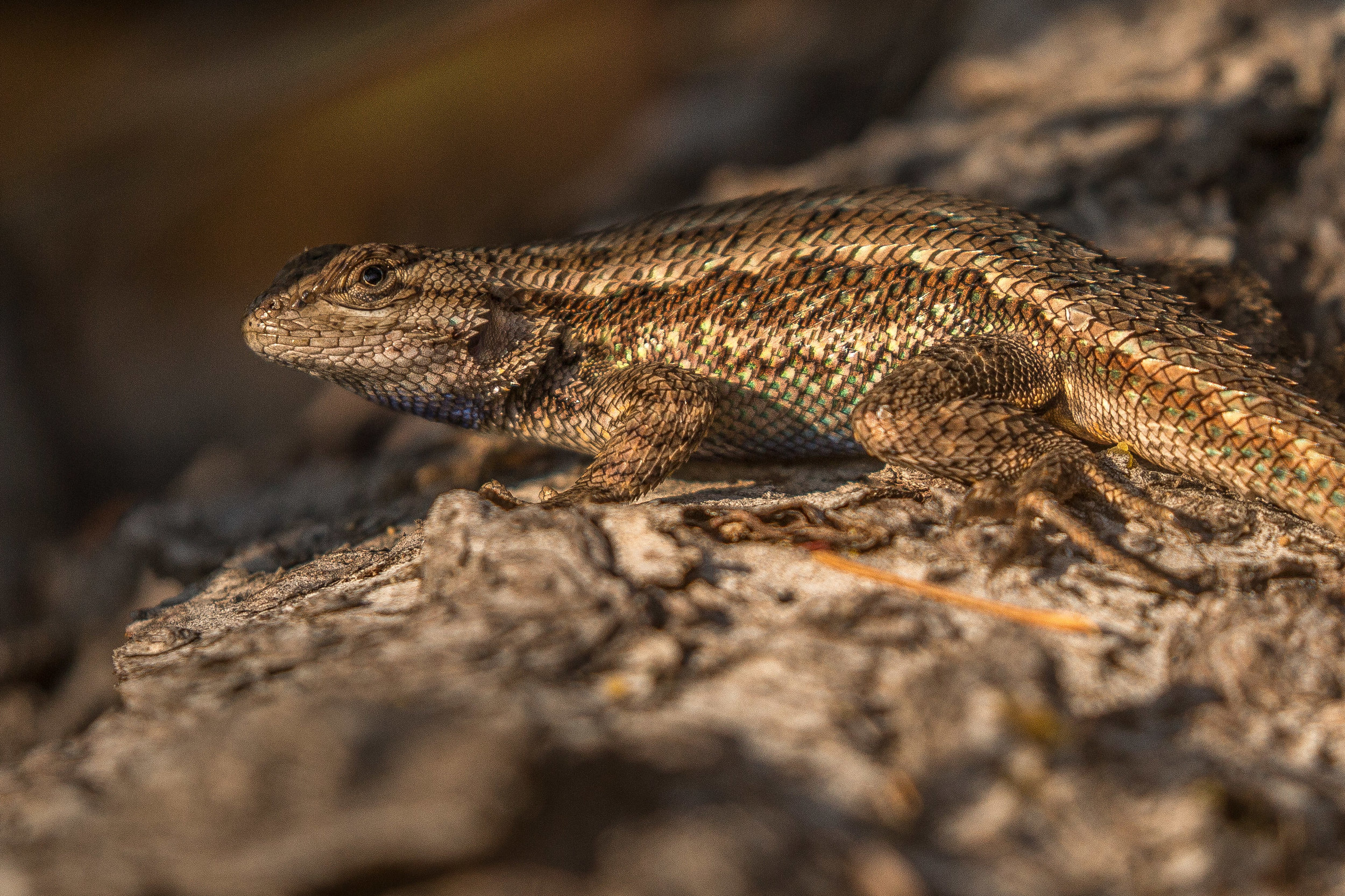 western fence lizard (Sceloporus occidentalis) - A western fence lizard basking in the afternoon sun. The blood of this species of lizard is special: ticks that bite them get purged of the bacteria that causes Lyme disease in humans as a result of the interaction with a protein in the lizard's blood.