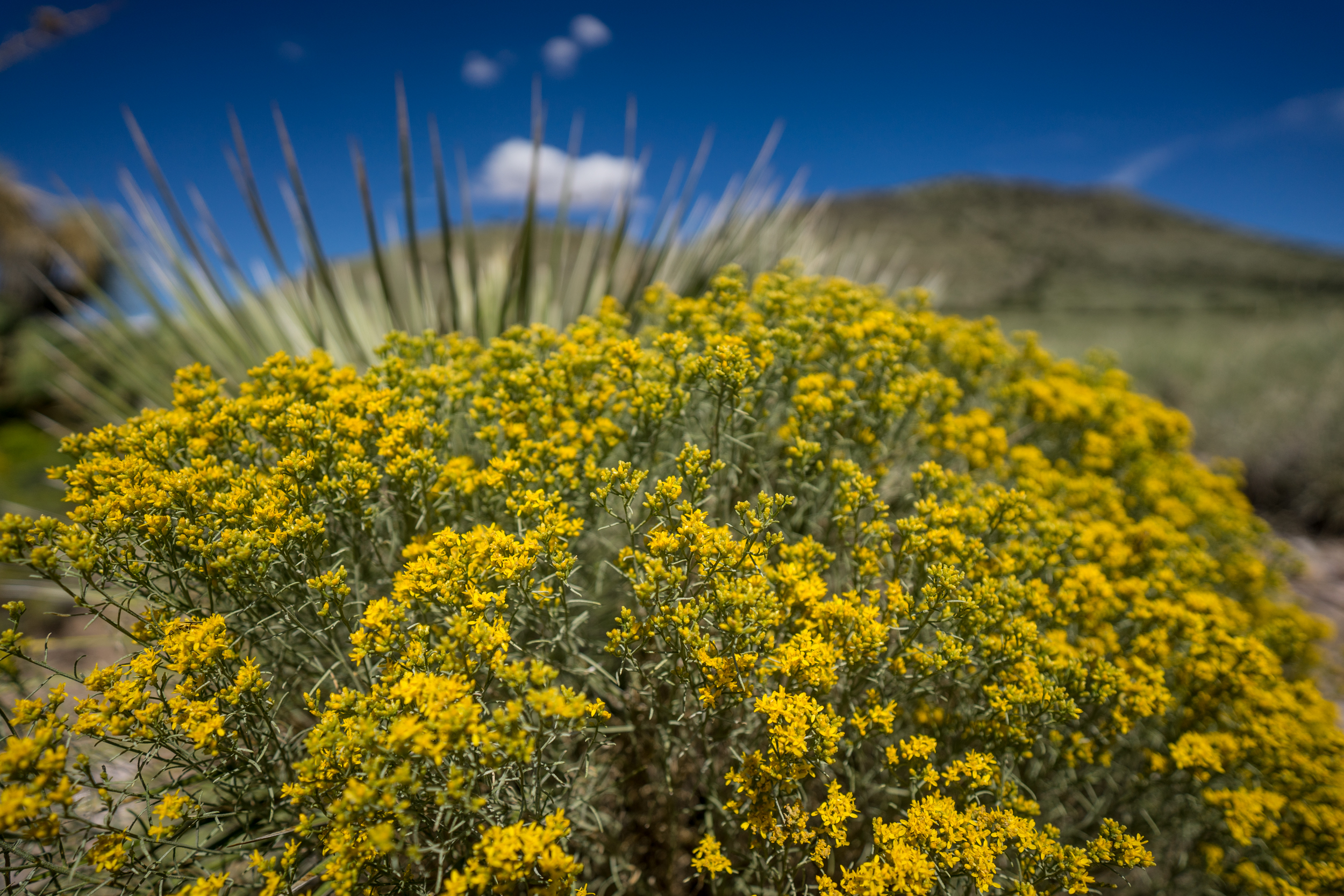 Flowering rabbitbrush