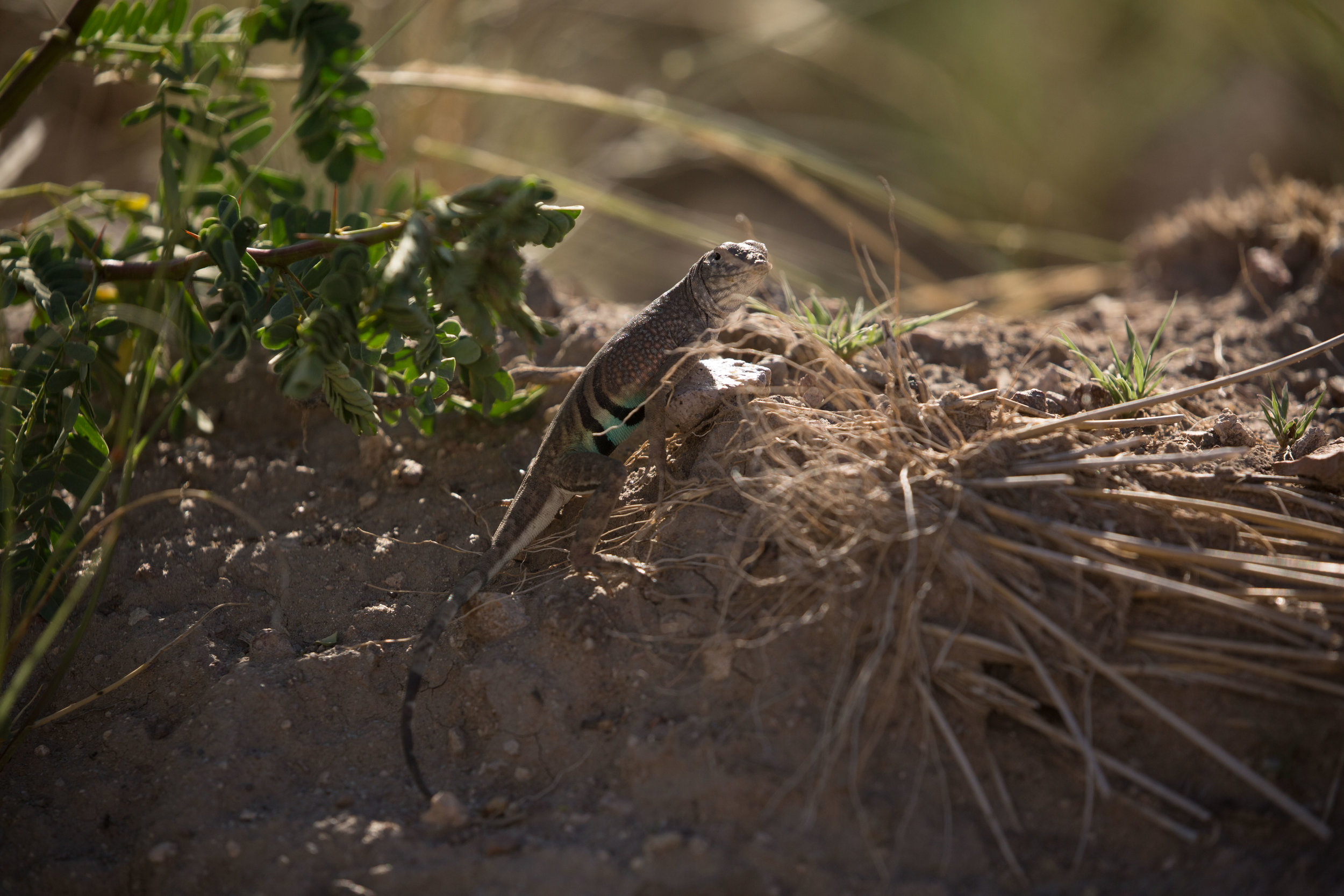 A male greater earless lizard hiding its bright colors in the shade