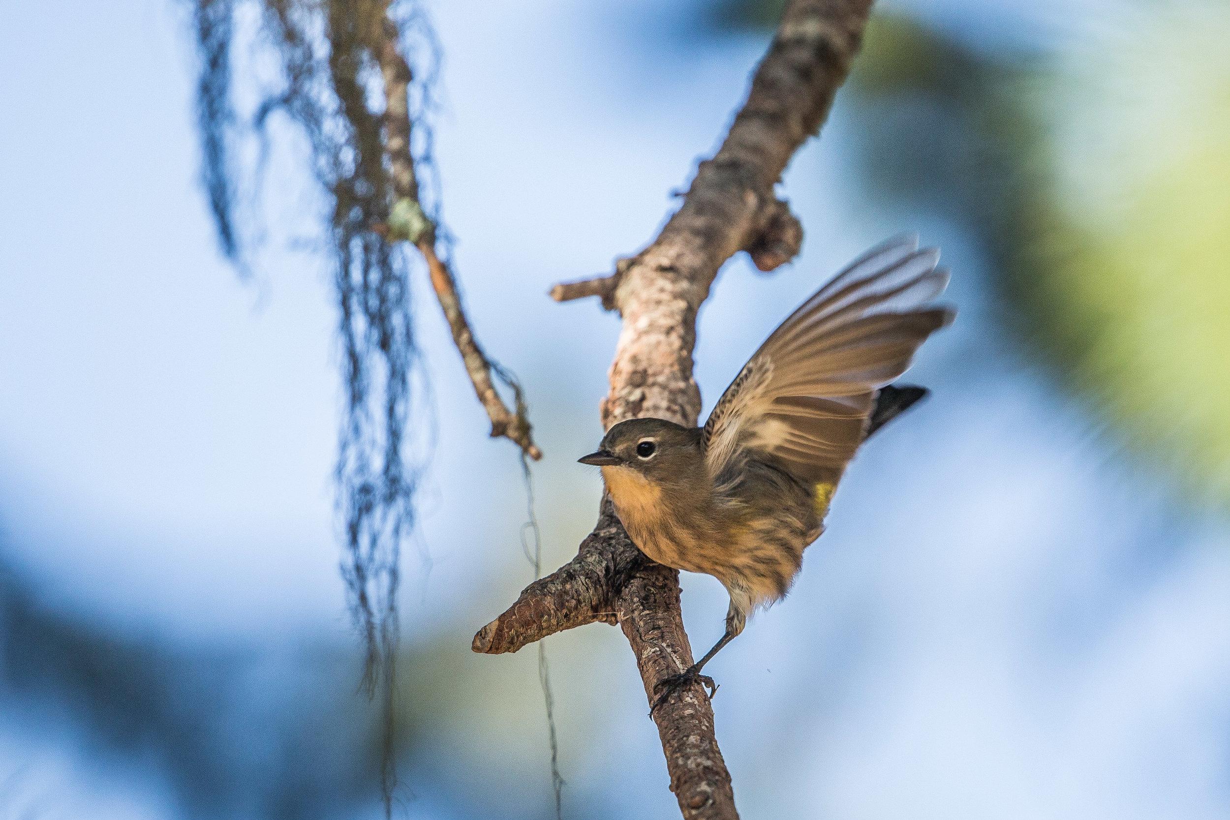 Female Yellow-rumped Warbler (Setophaga coronata) -