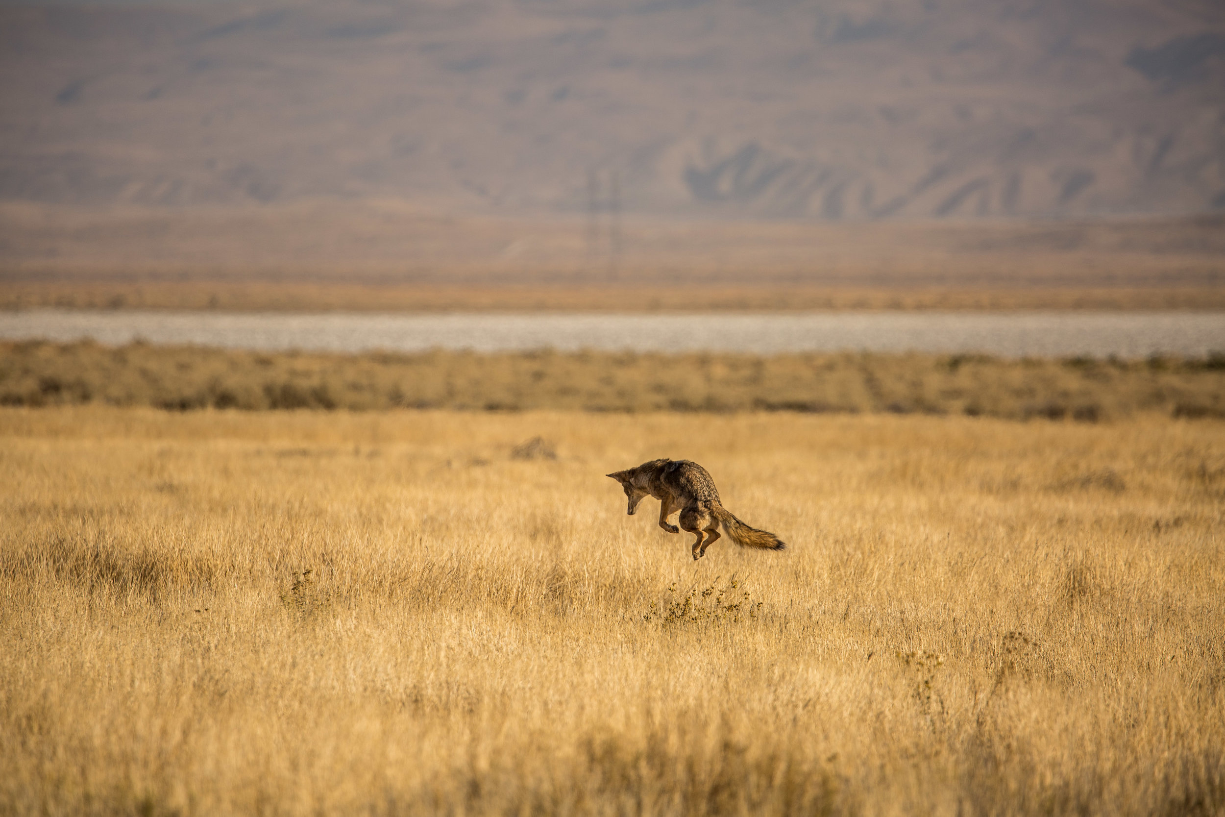 Coyote (Canis latrans) - A coyote hunting rodents among the grasses in the Carrizo