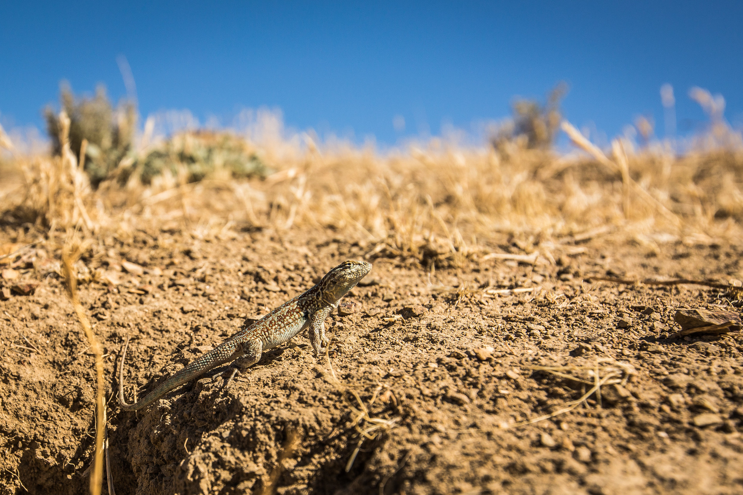 side-blotched lizard (Uta stansburiana) - A common side-blotched lizard, greeting us along one of the few short hiking trails within Carrizo Plain National Monument.