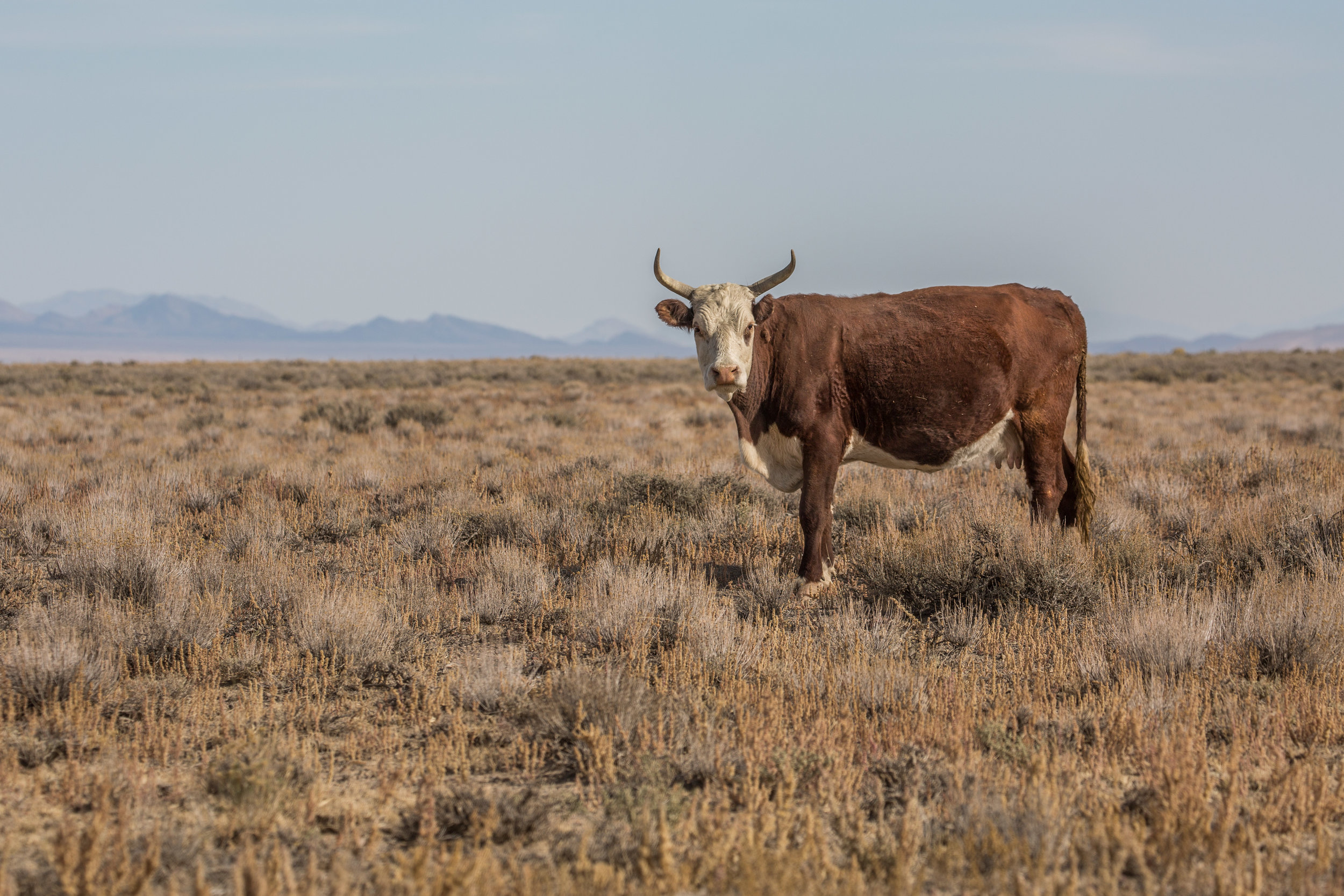 - Grazing cattle is allowed within the boundaries of the national monument and existing grazing rights were respected, as well as private property and proper access to it. Hunting and OHV activities are also allowed in Basin and Range in designated areas.