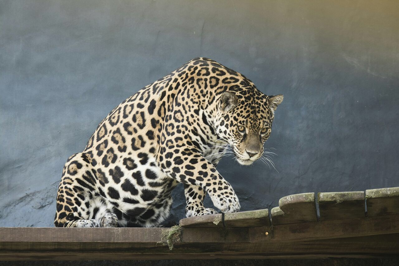 jaguar (Panthera onca) - One of the female jaguars arriving from Brazil at the Jaguar Recreation Center in San Alonso, in 2017. Photo by Rafael Abuín, CLT Argentina.