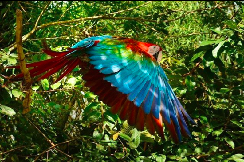 Green-winged macaw training for release. Photo by Rafael Abuín.
