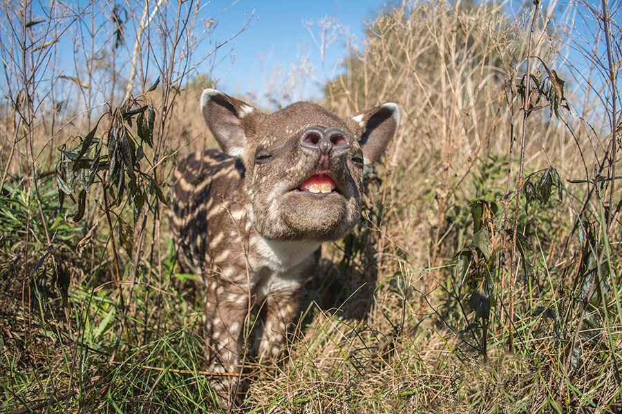- Arandú, the first baby tapir to be born in the wild in Iberá, after more than seven decades. Photo by Rafael Abuín, CLT Argentina.