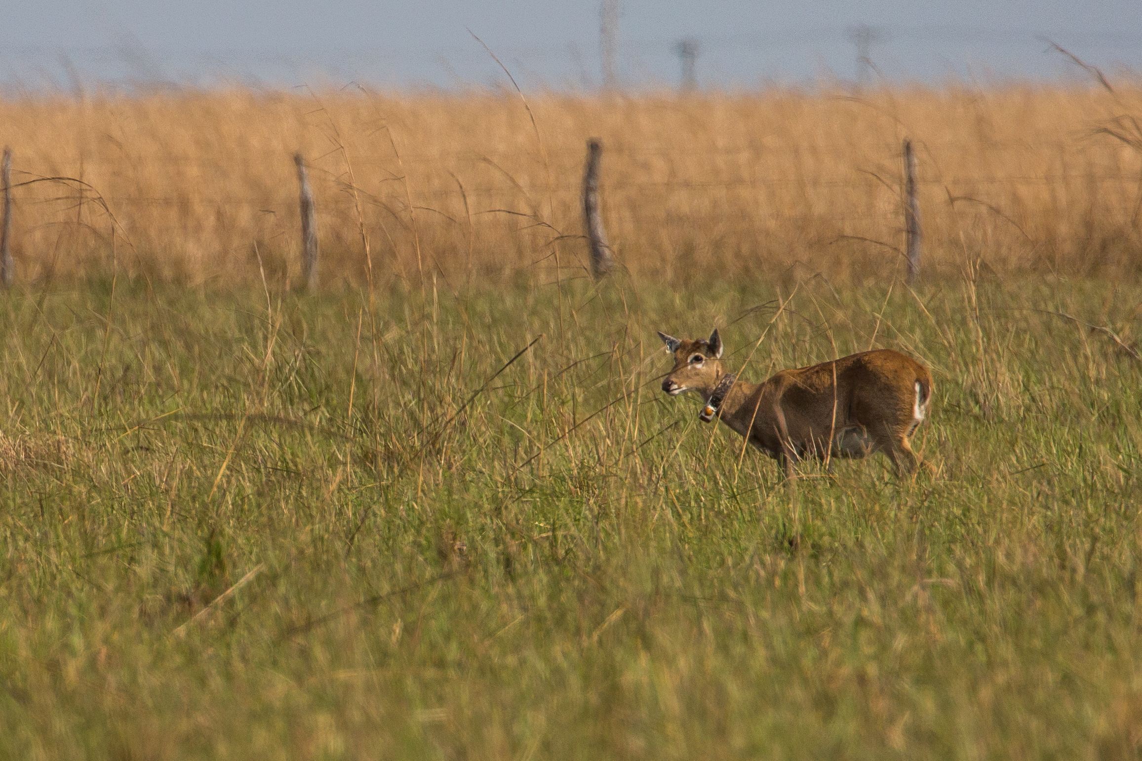 Pampas deer were relocated to the region in 2009.